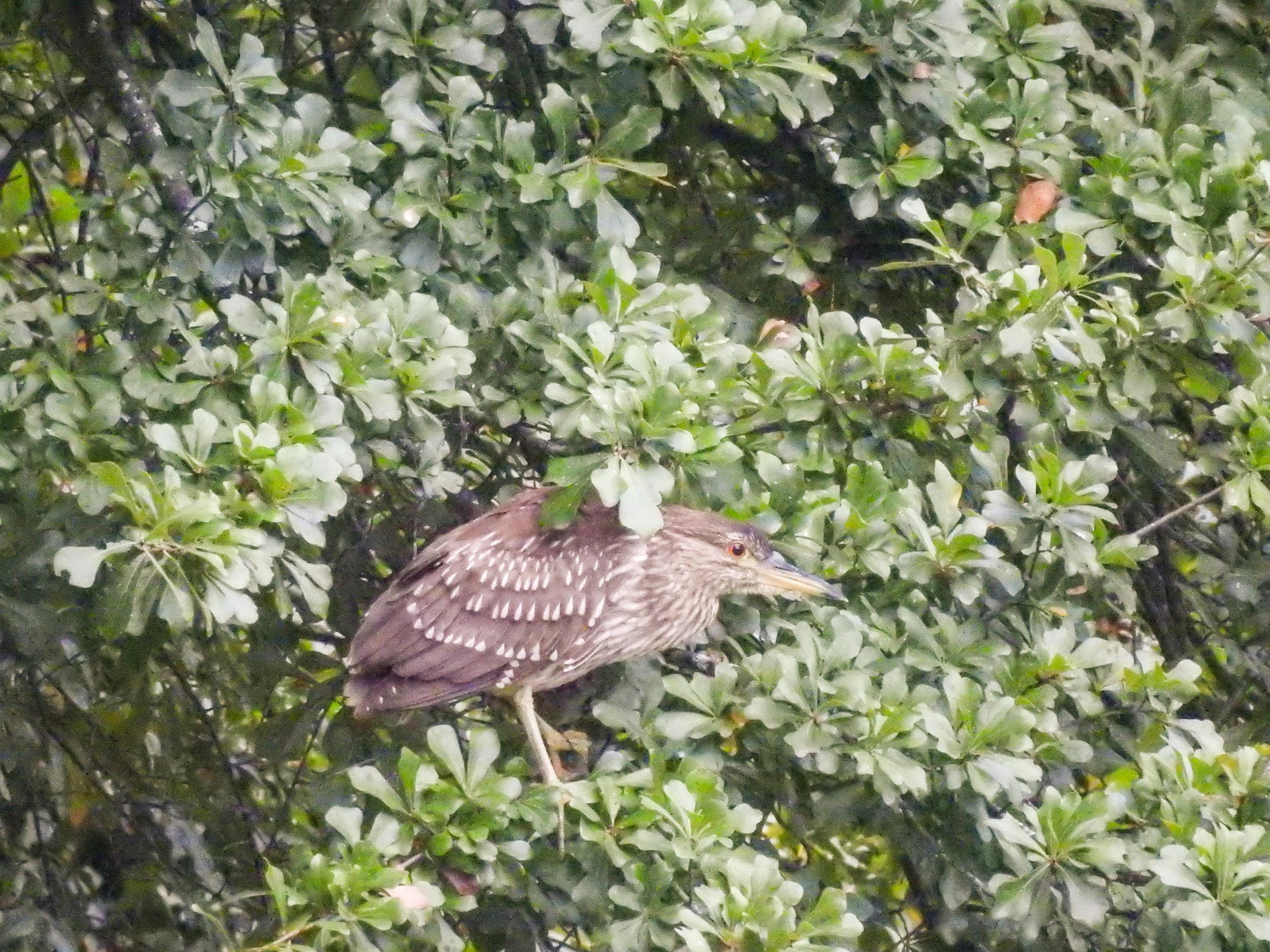 Black-crowned Night-heron, immature