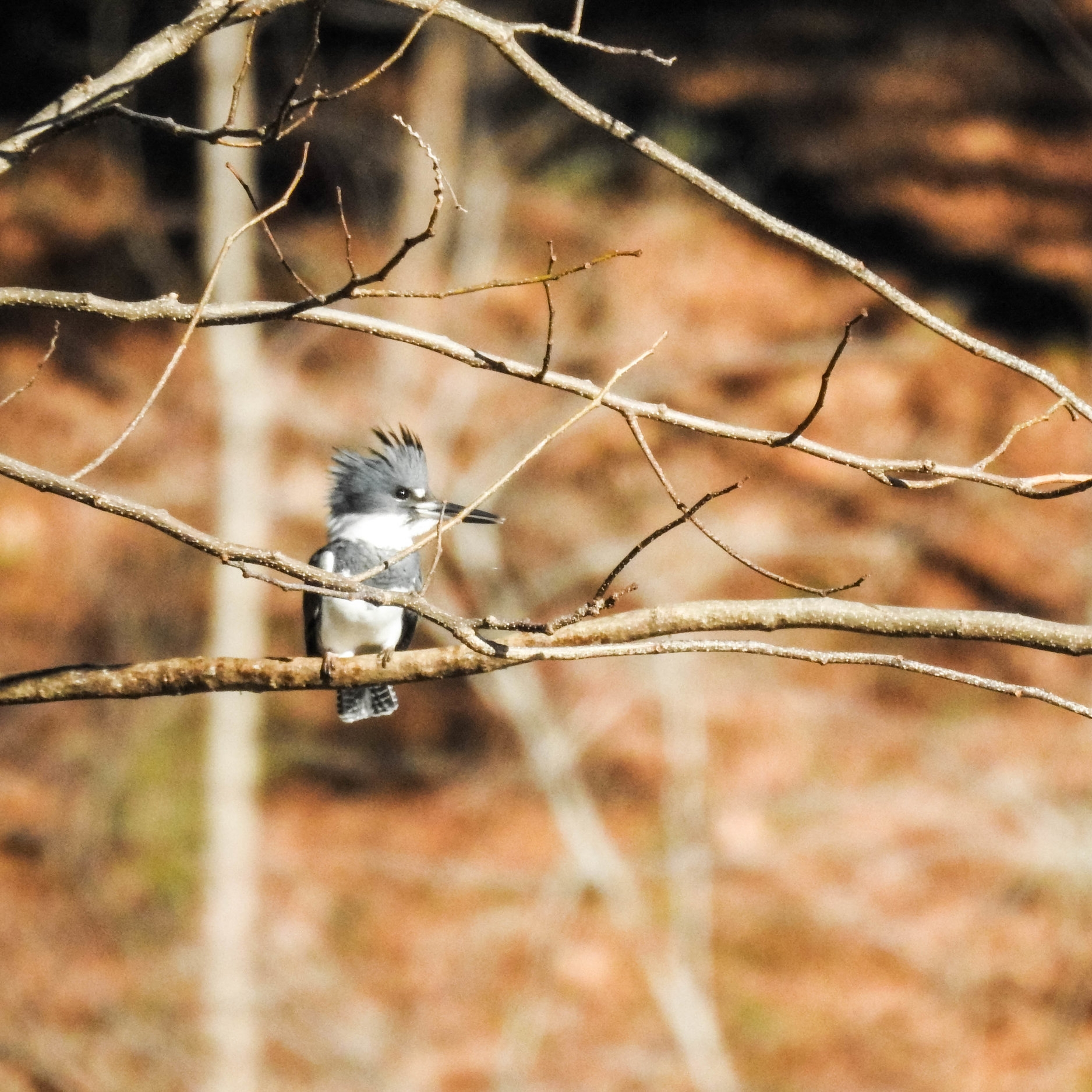 Belted Kingfisher, male