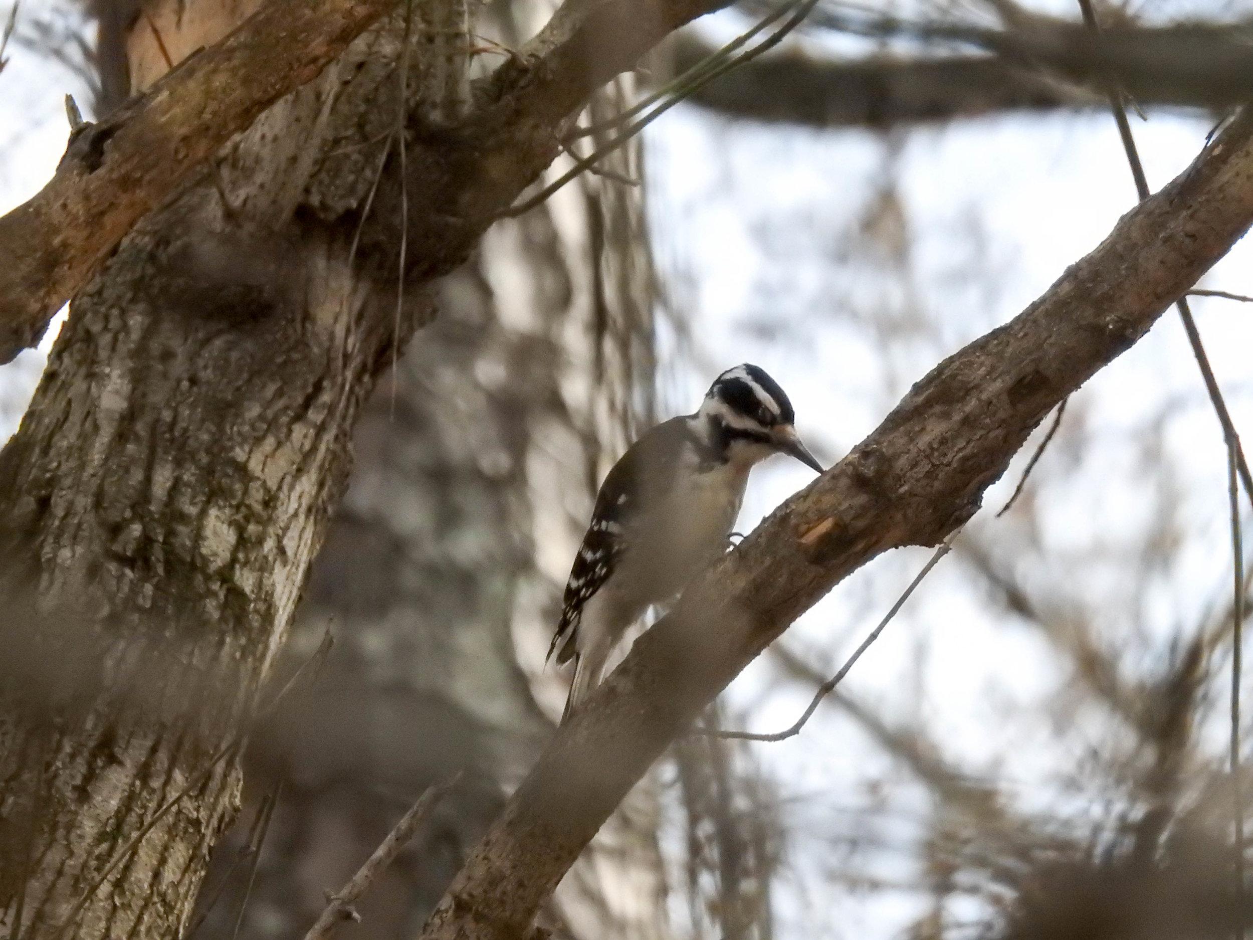 Hairy Woodpecker, female