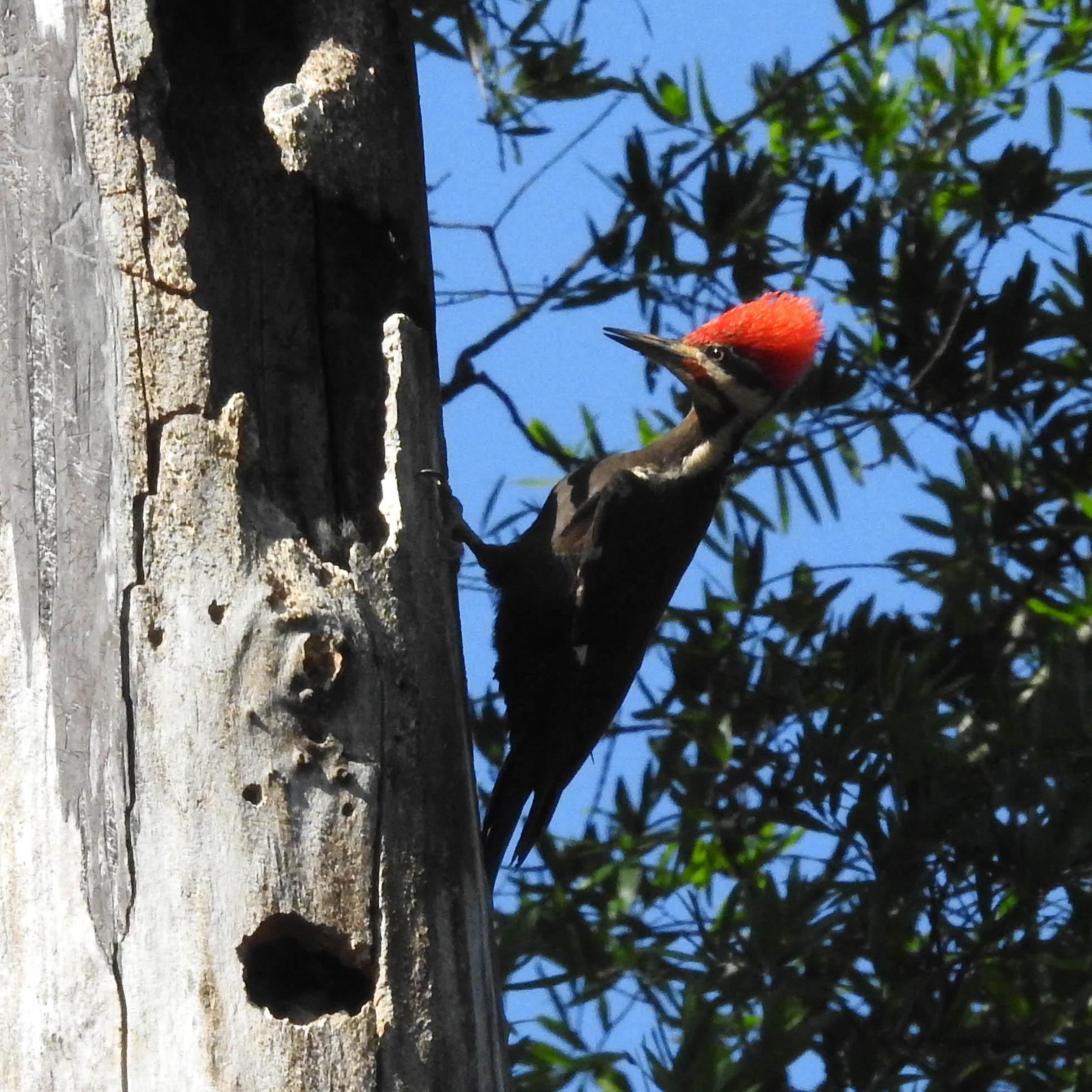 Pileated Woodpecker, male