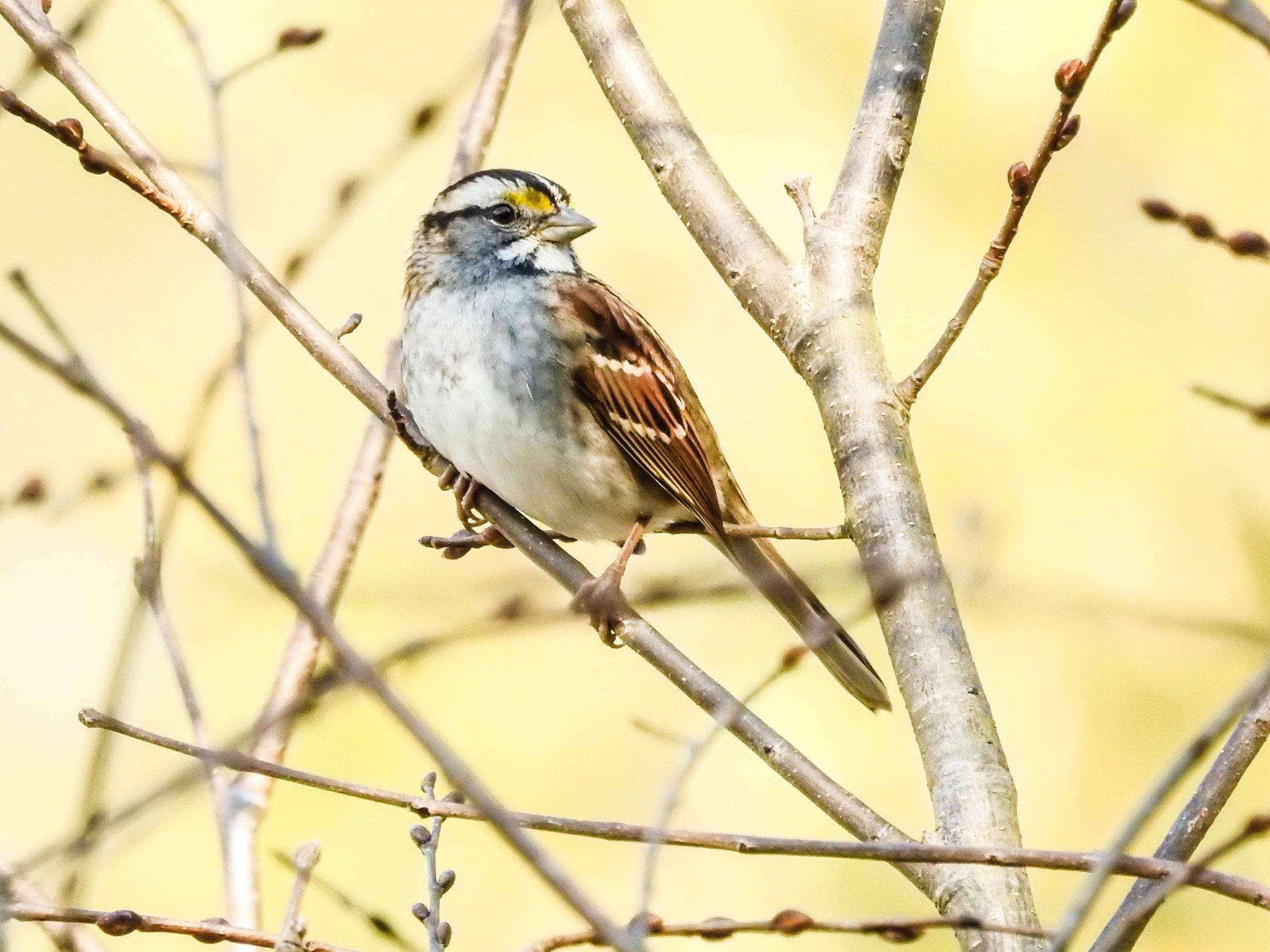 White-throated Sparrow, white-striped