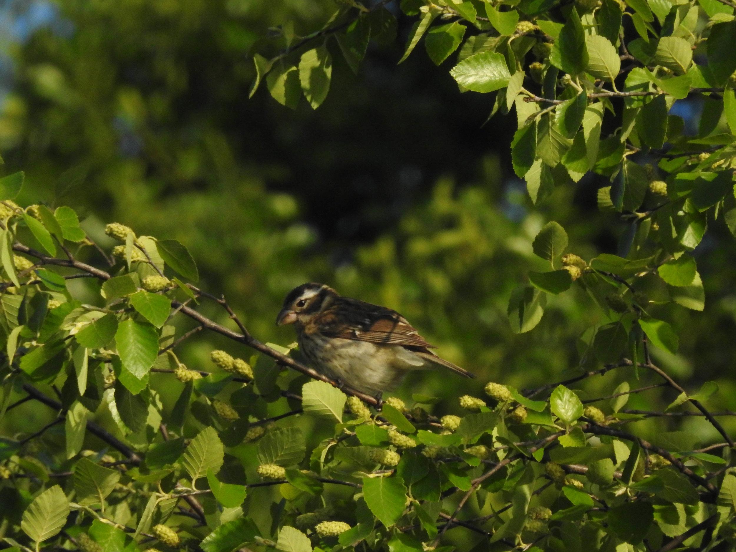Rose-breasted Grosbeak, female