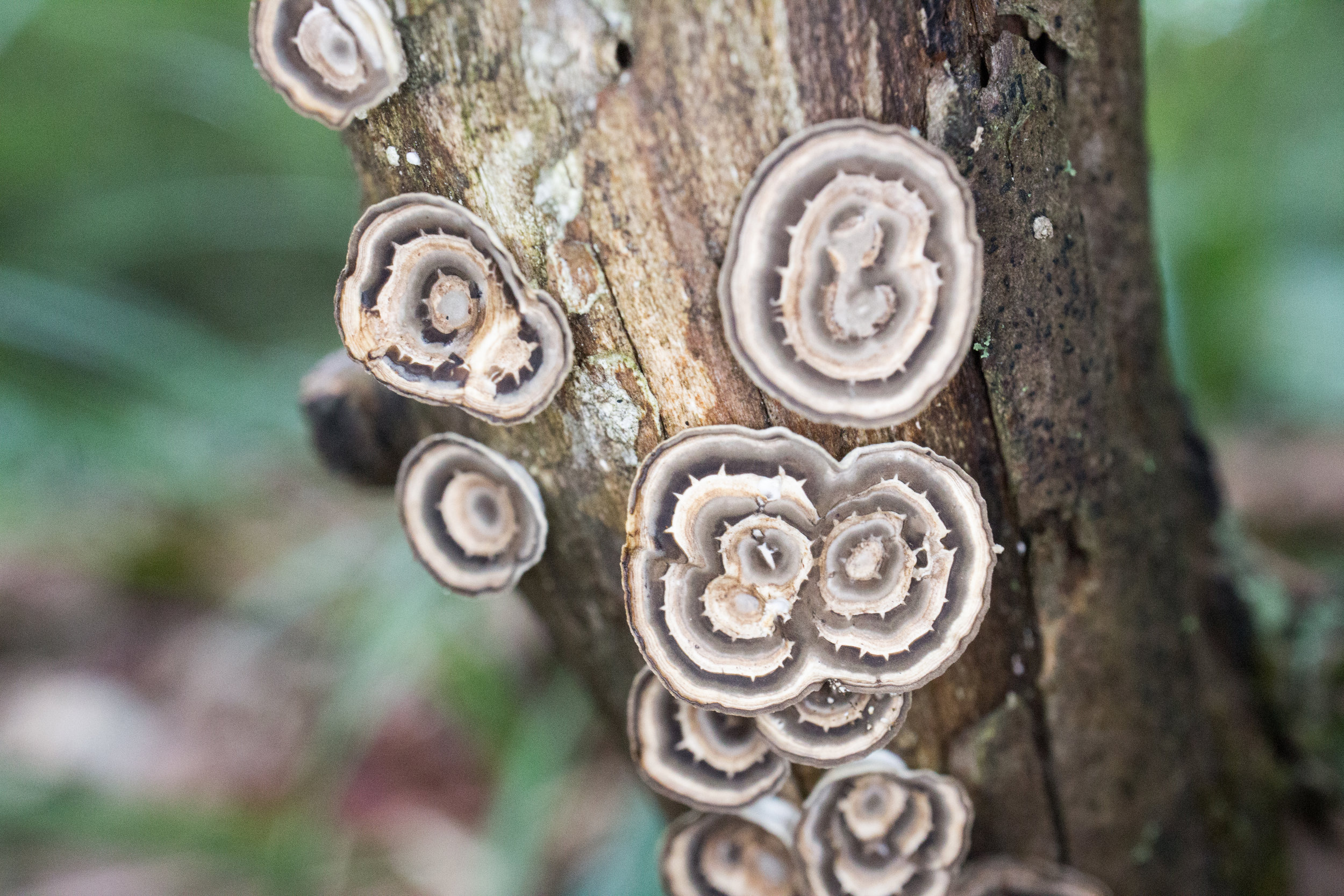 Trametes conchifer
