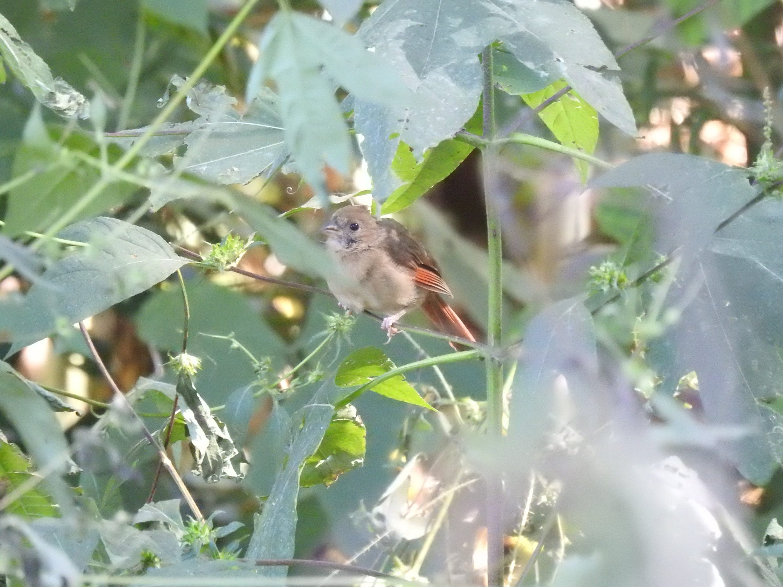 Northern Cardinal, immature