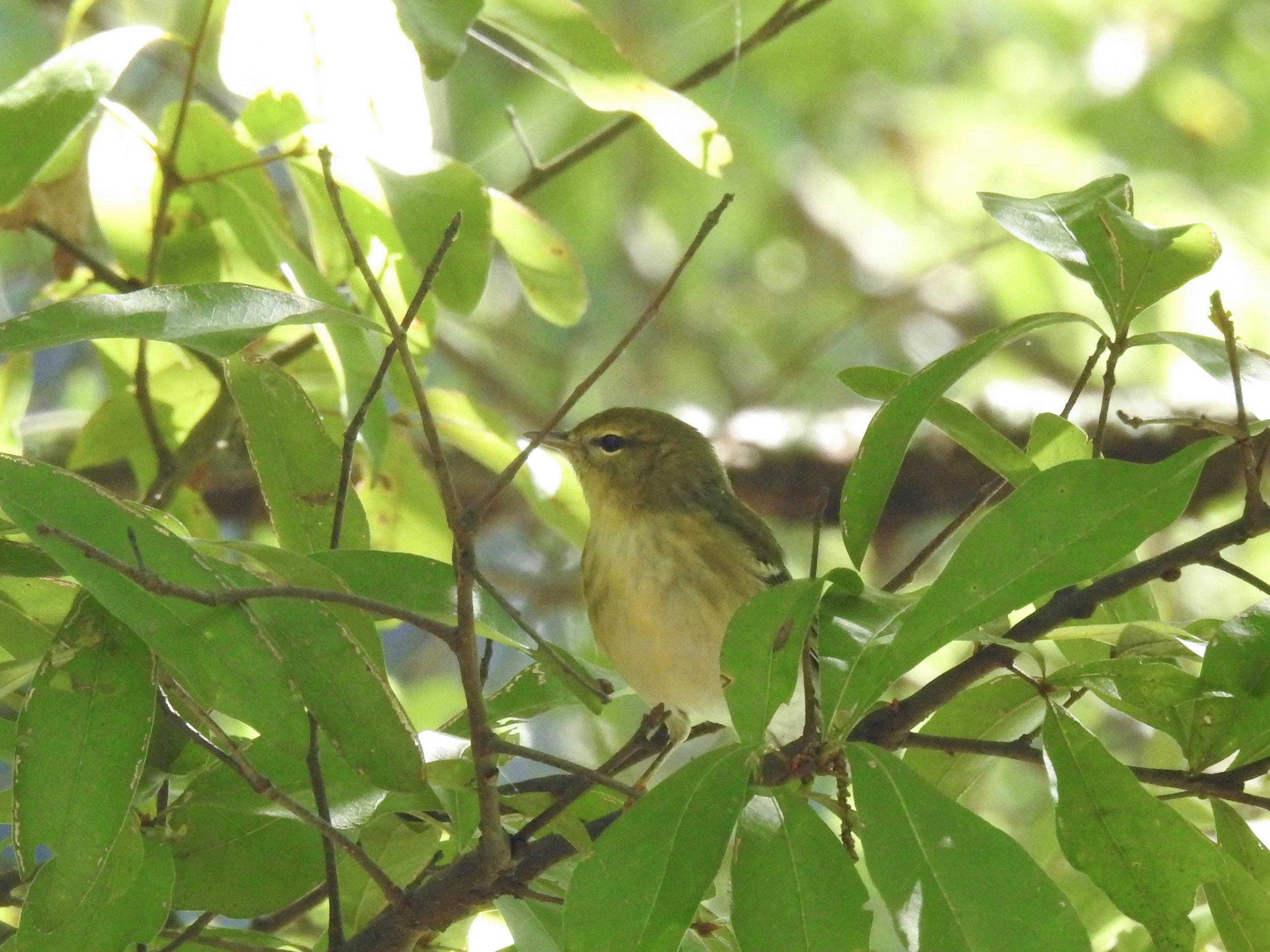 Blackpoll Warbler, nonbreeding