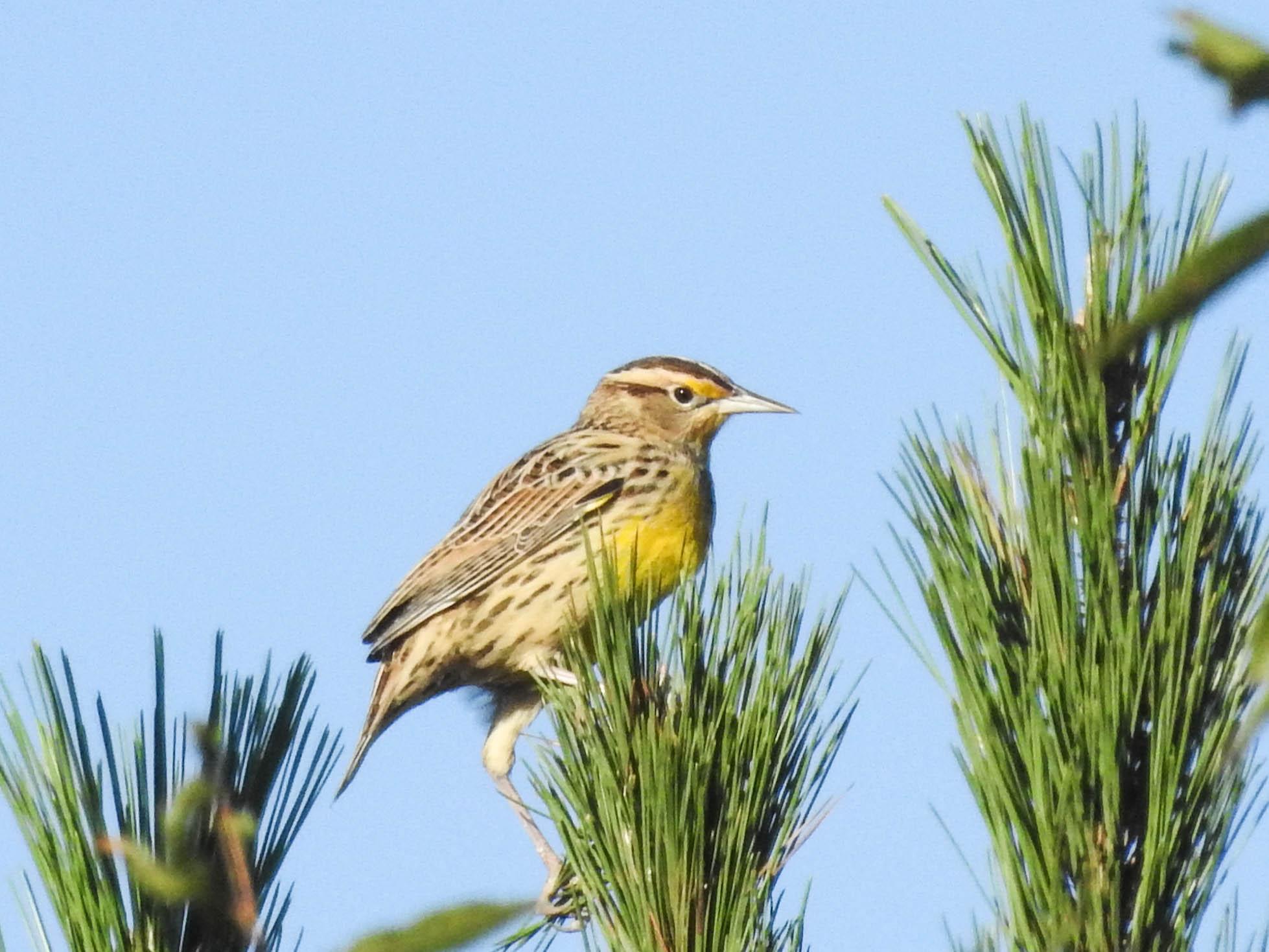Eastern Meadowlark, nonbreeding
