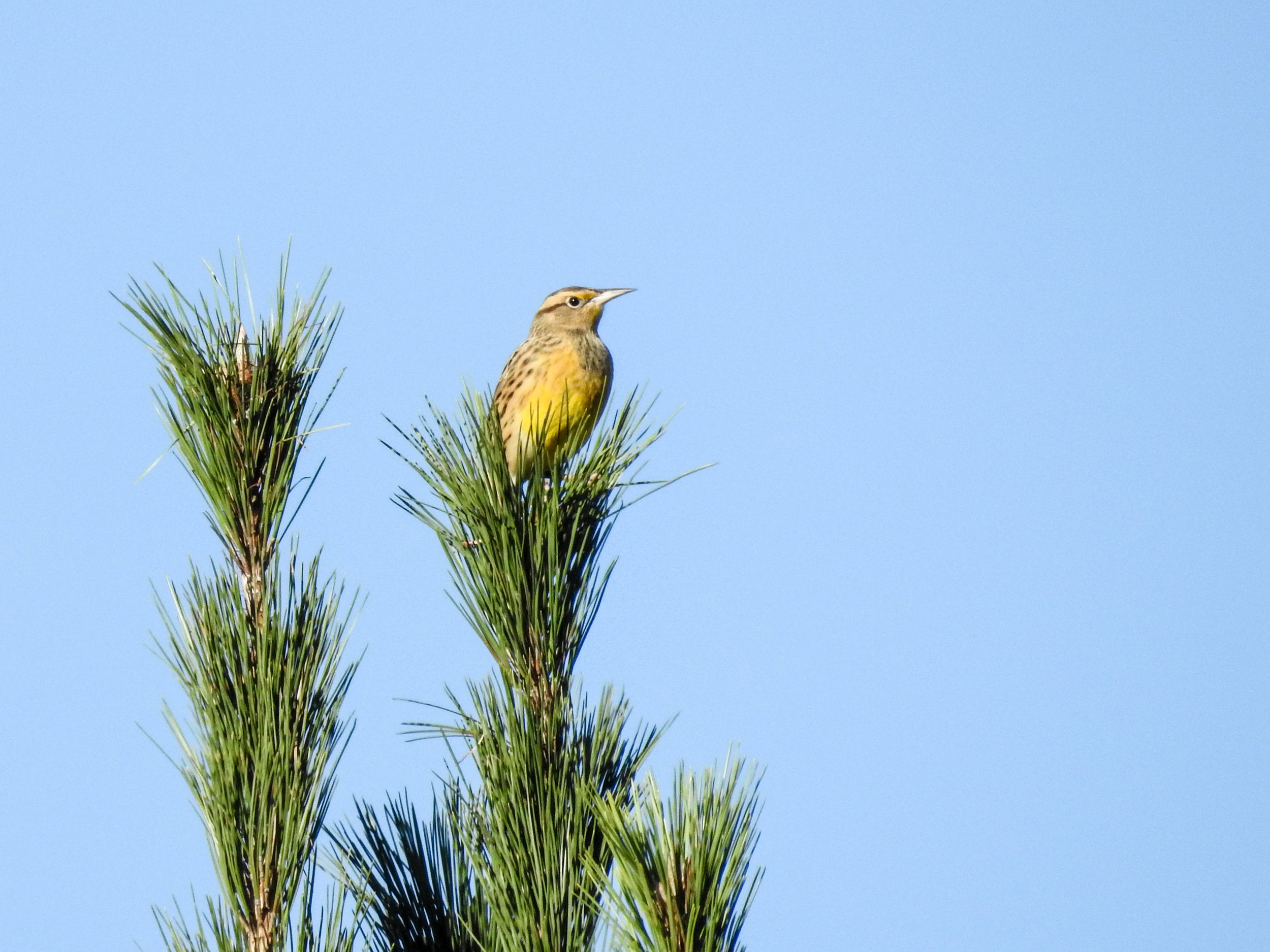 Eastern Meadowlark, October 18, 2018