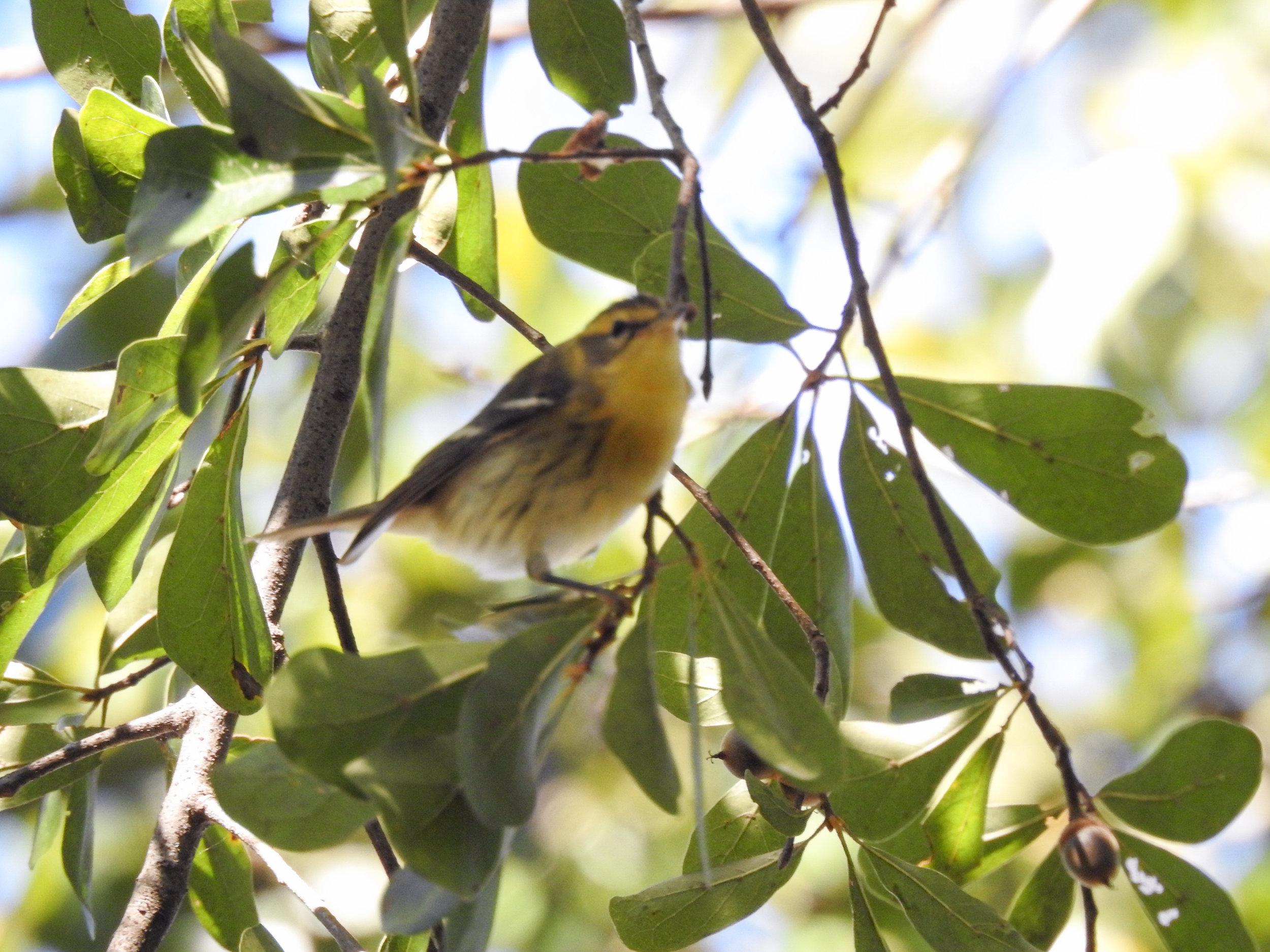 Blackburnian Warbler, female or immature