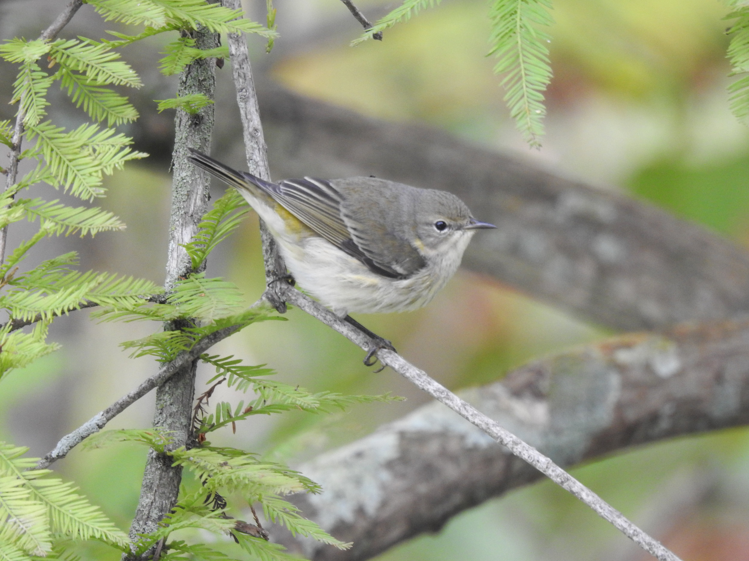 Cape May Warbler, female