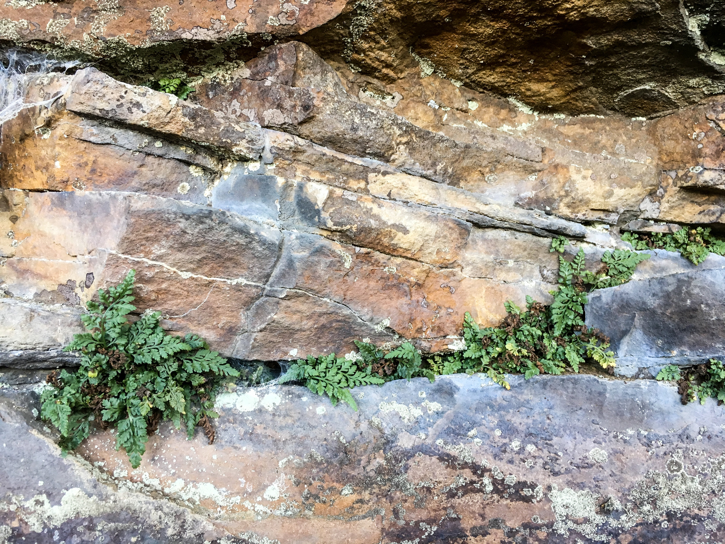 Mountain Spleenwort, November 7, 2018