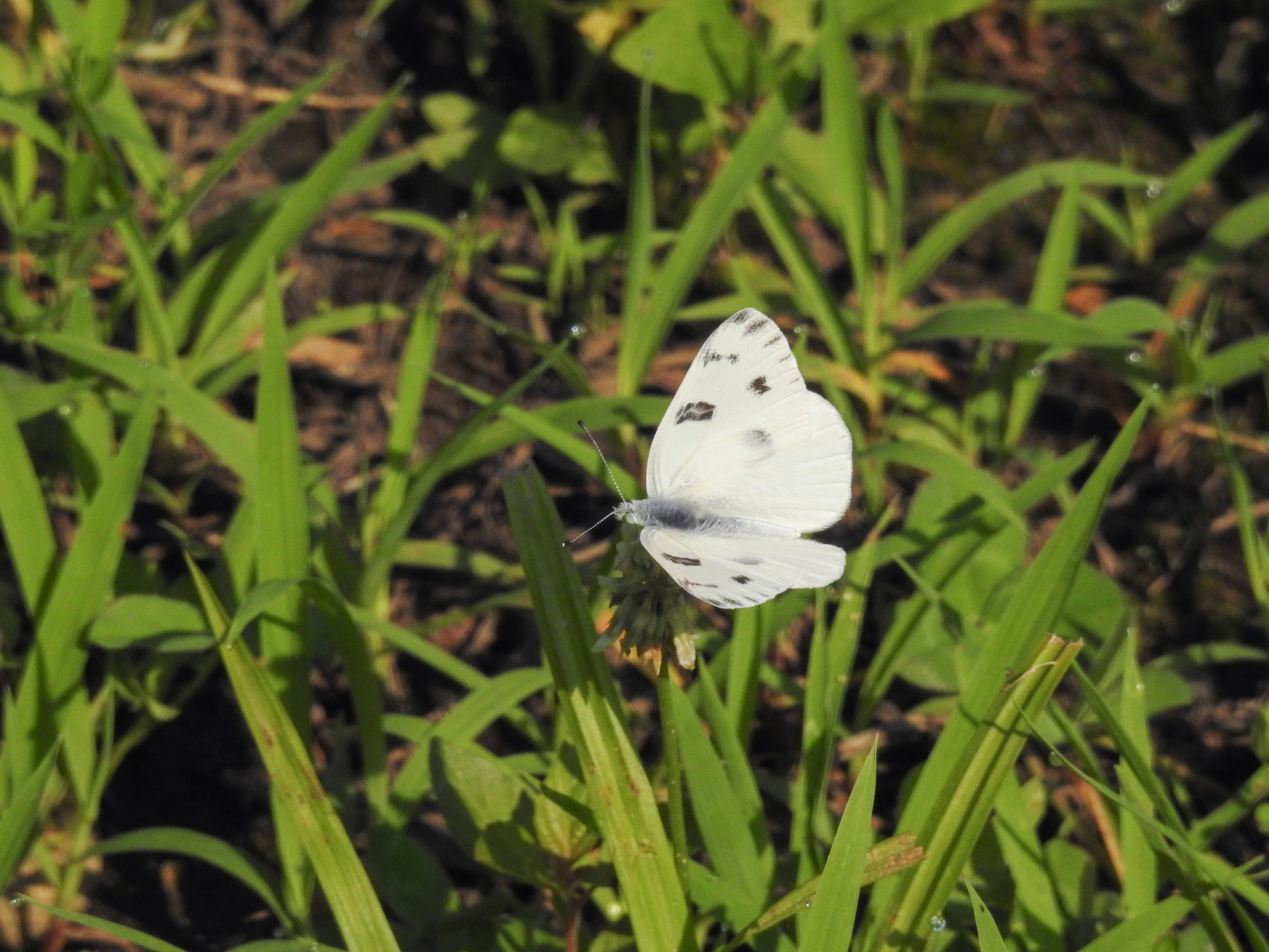 Checkered White, male