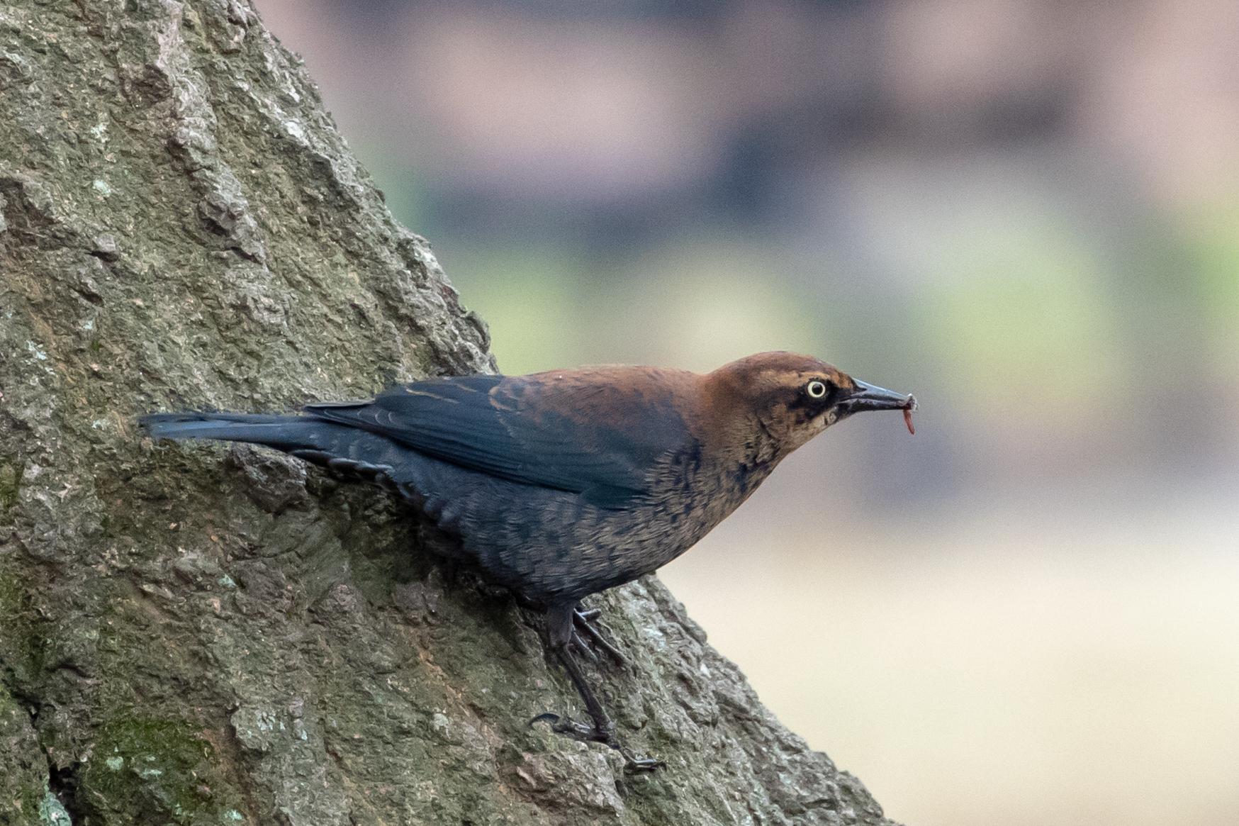 Rusty Blackbird, nonbreeding female
