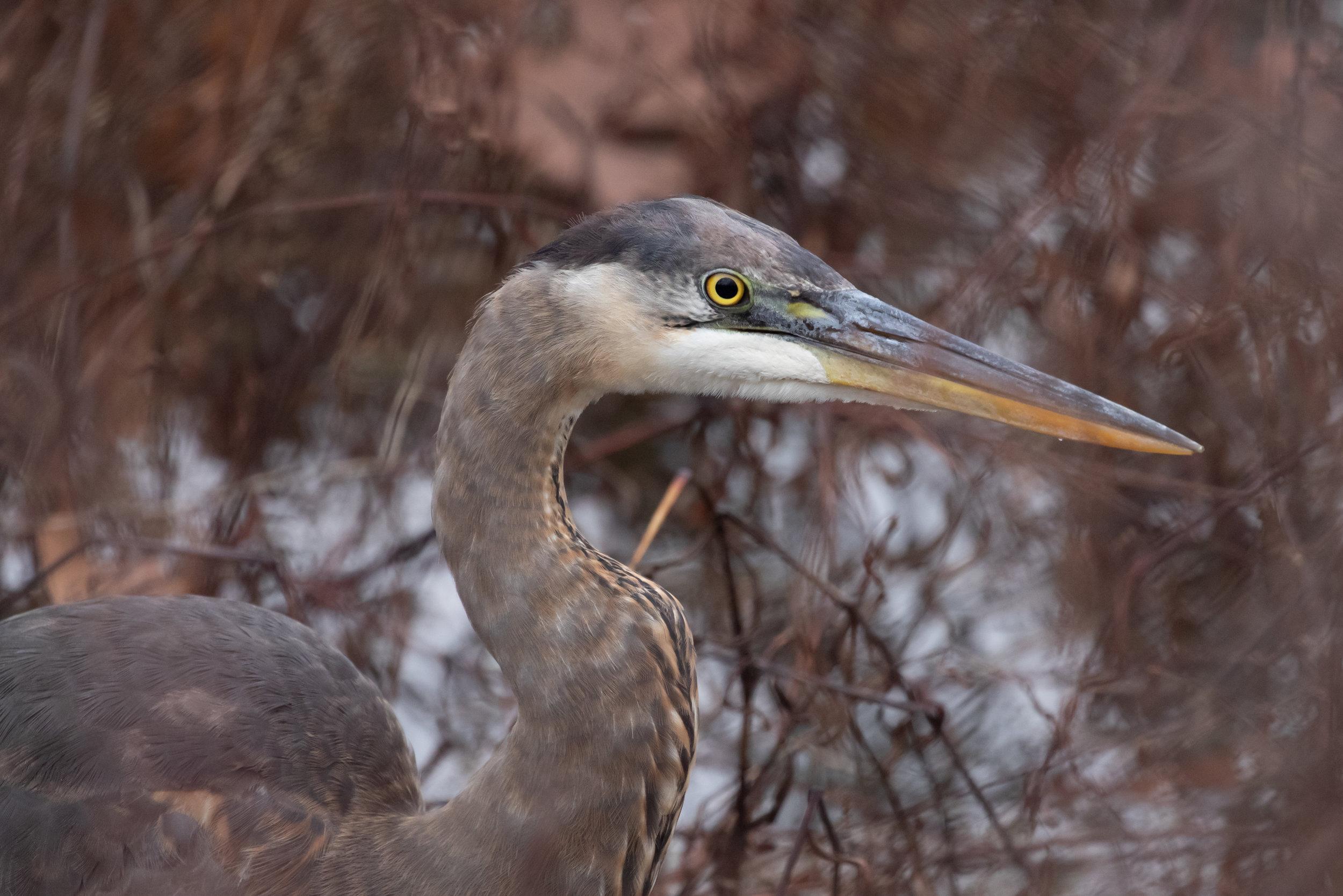 Great Blue Heron, December 15, 2018