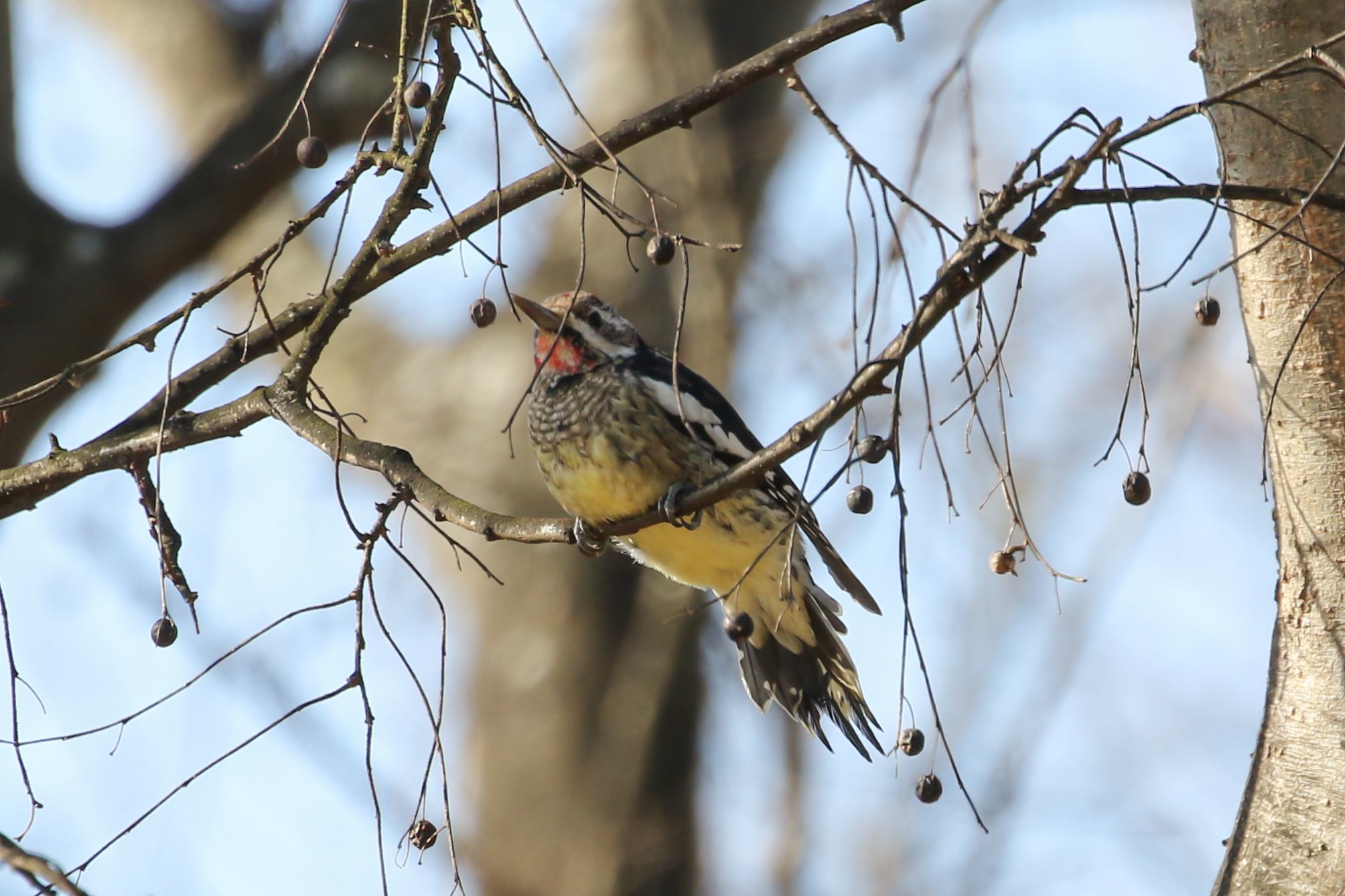 Yellow-bellied Sapsucker, immature male