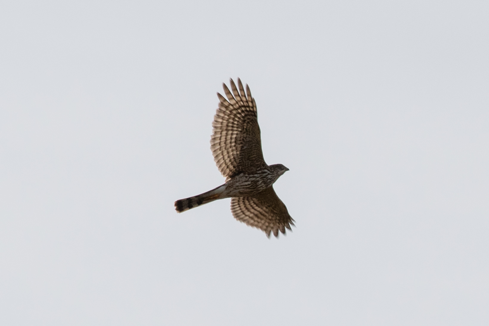 Sharp-shinned Hawk, immature