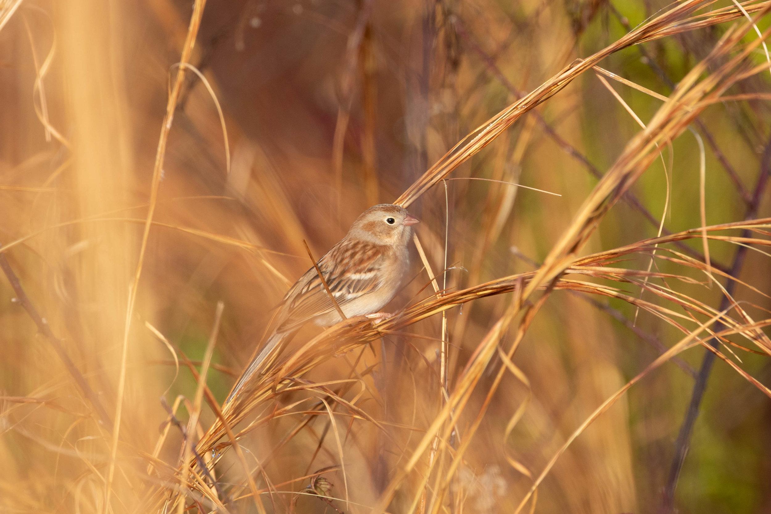 Field Sparrow, December 29, 2018