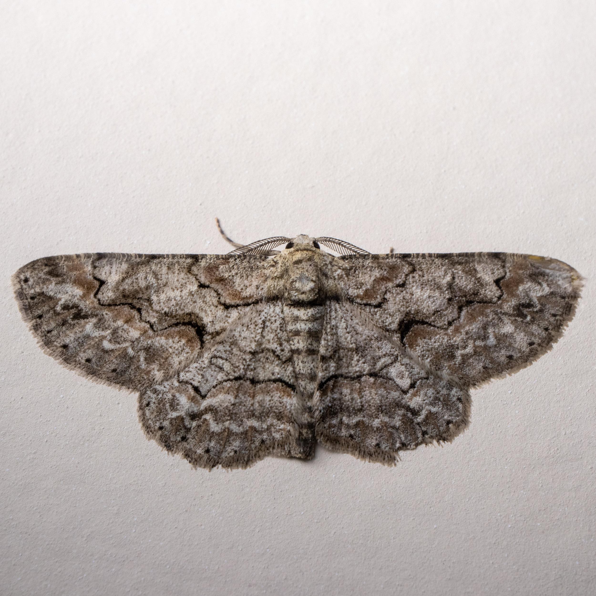 Brown-shaded Gray