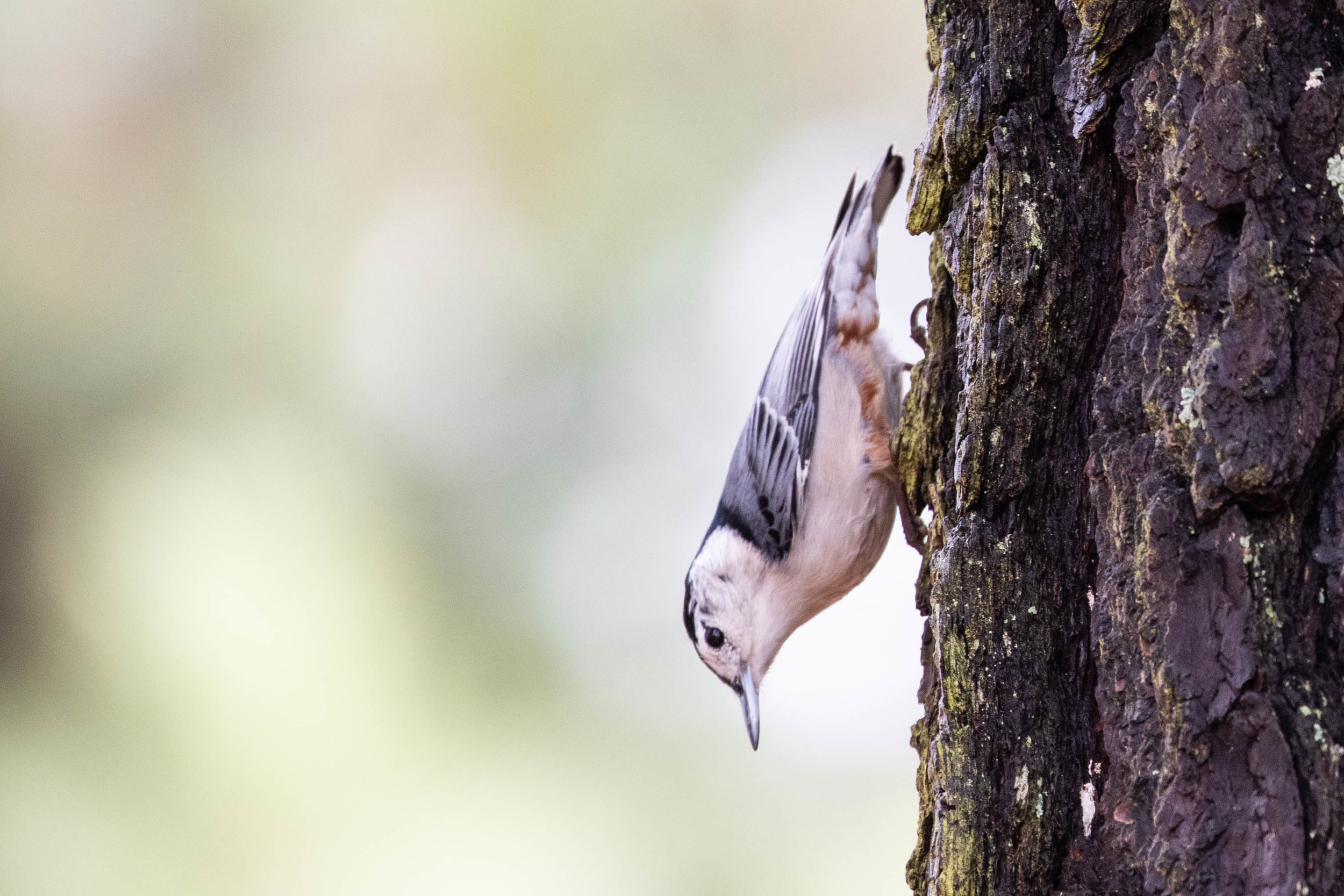 White-breasted Nuthatch, January 1, 2019