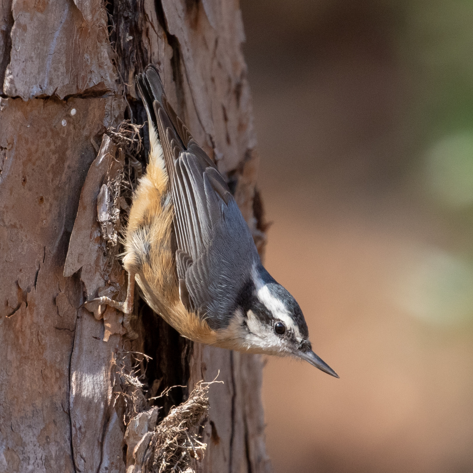 Red-breasted Nuthatch, male