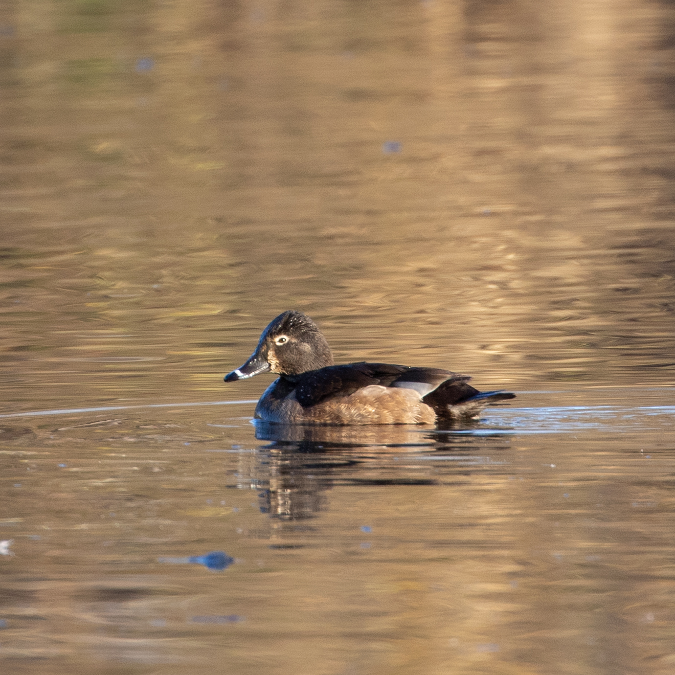 Ring-necked Duck, female