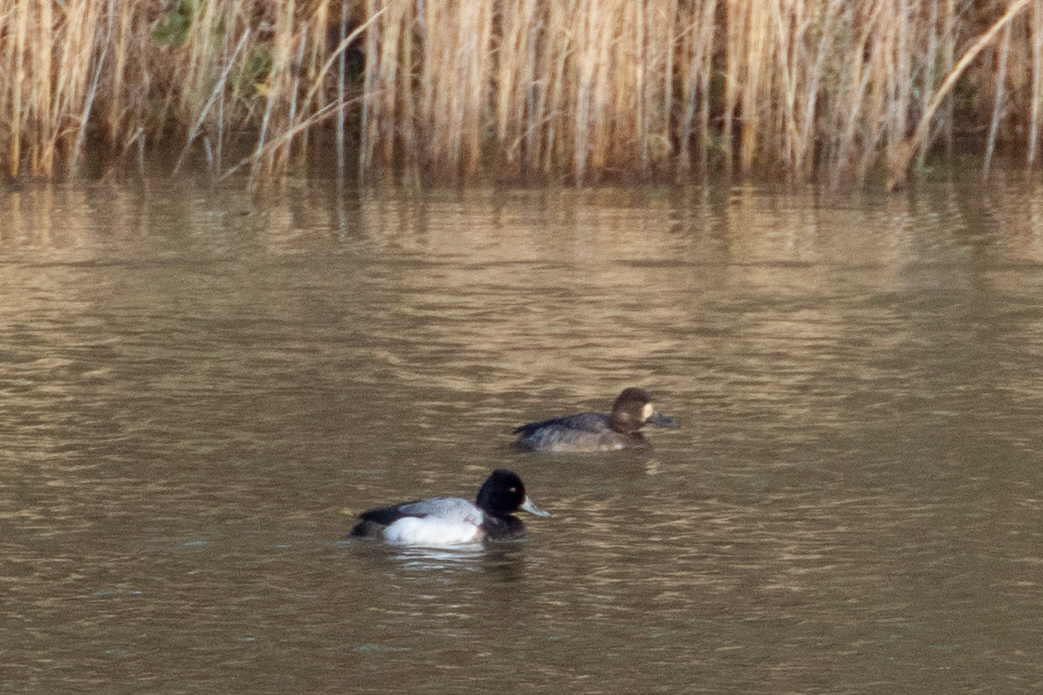 Lesser Scaup, male and female