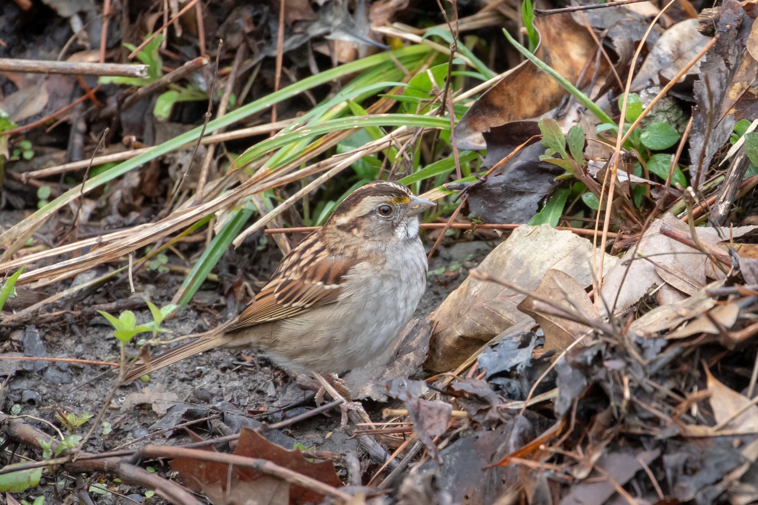 White-throated Sparrow, tan-striped