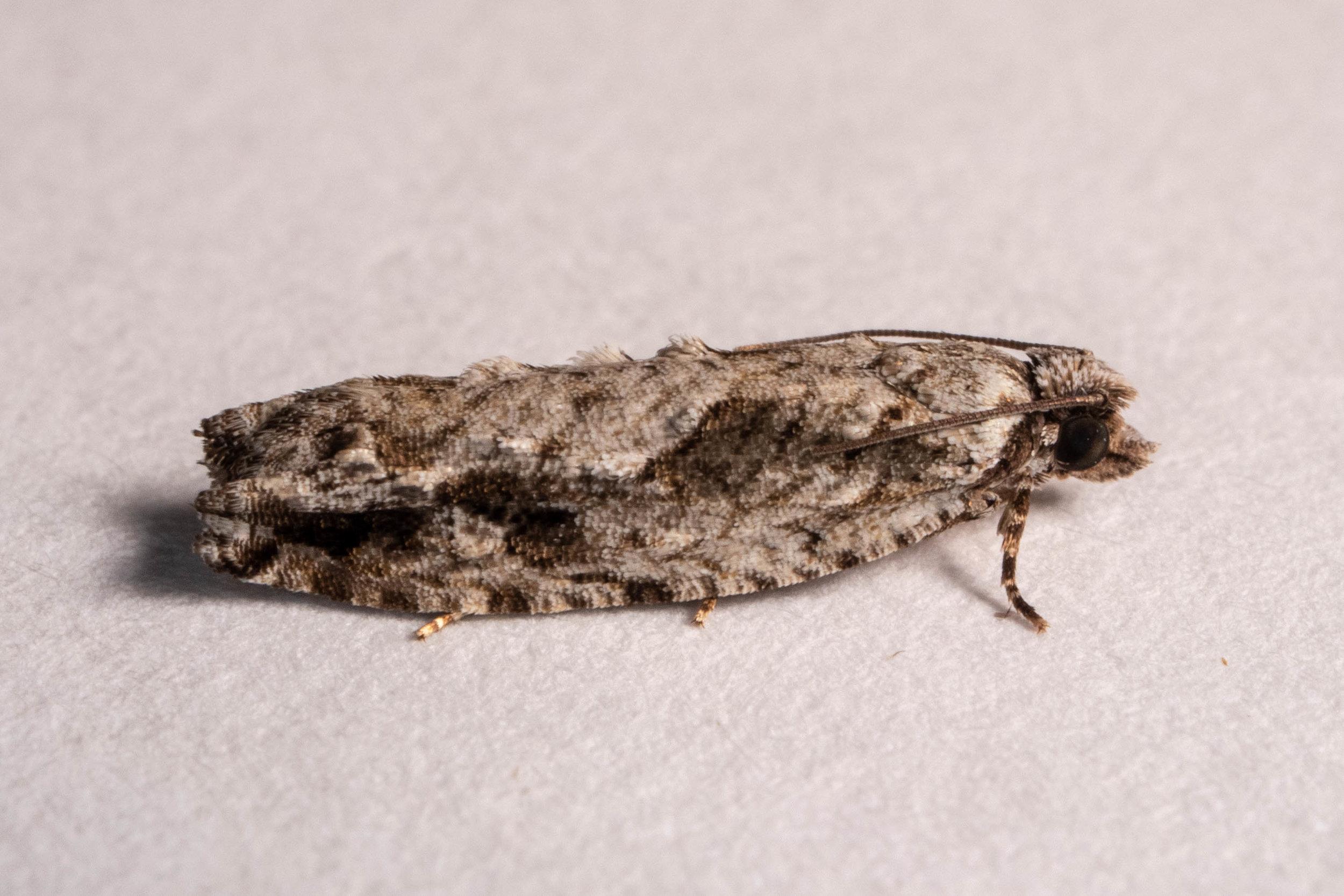 Pecan Bud Moth