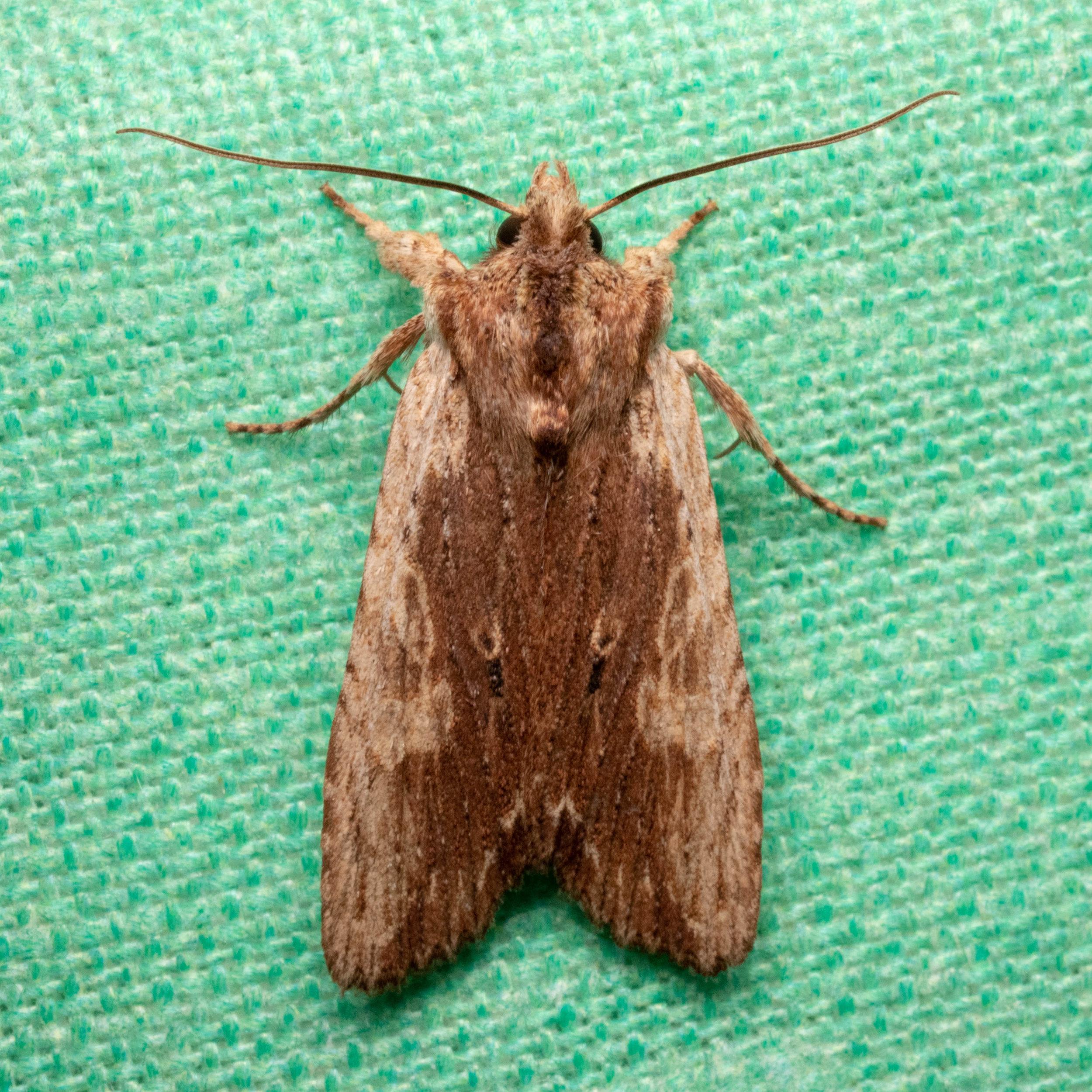 Sycamore Pinion Moth