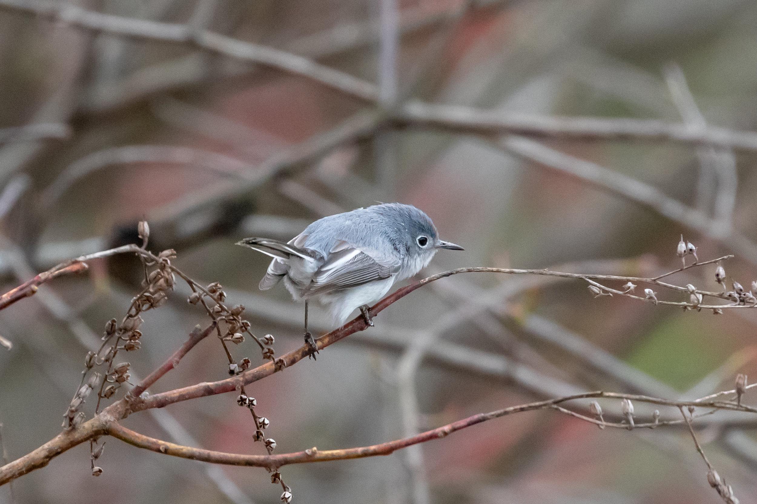 Blue-gray Gnatcatcher, female