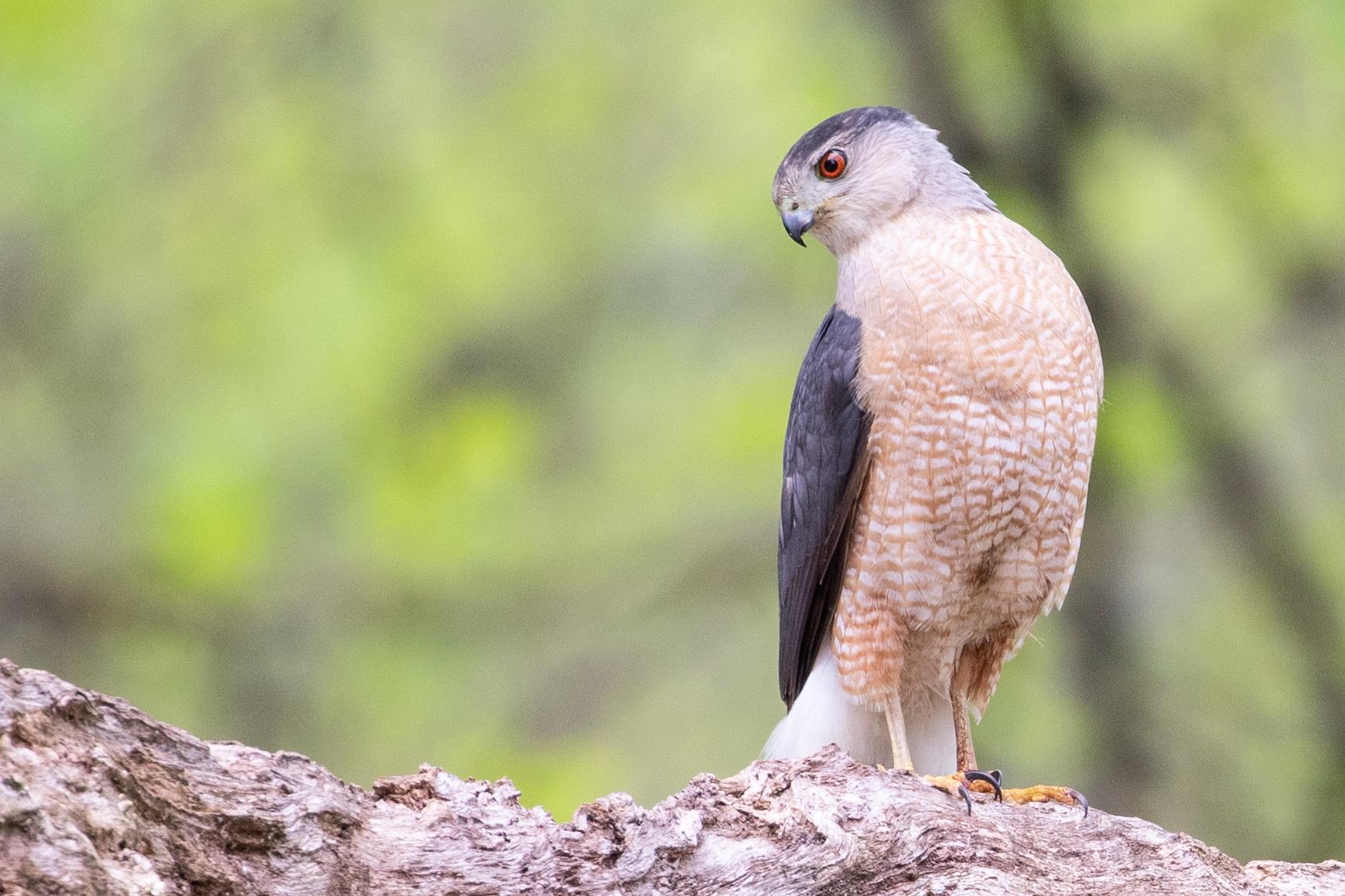 Cooper's Hawk, adult male