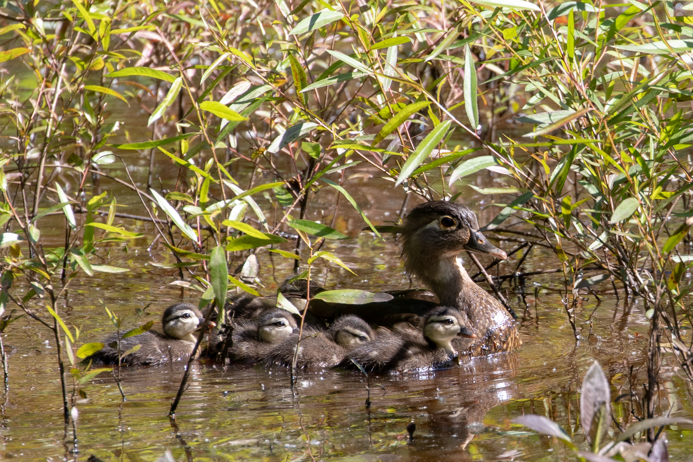 Wood Duck, female with ducklings
