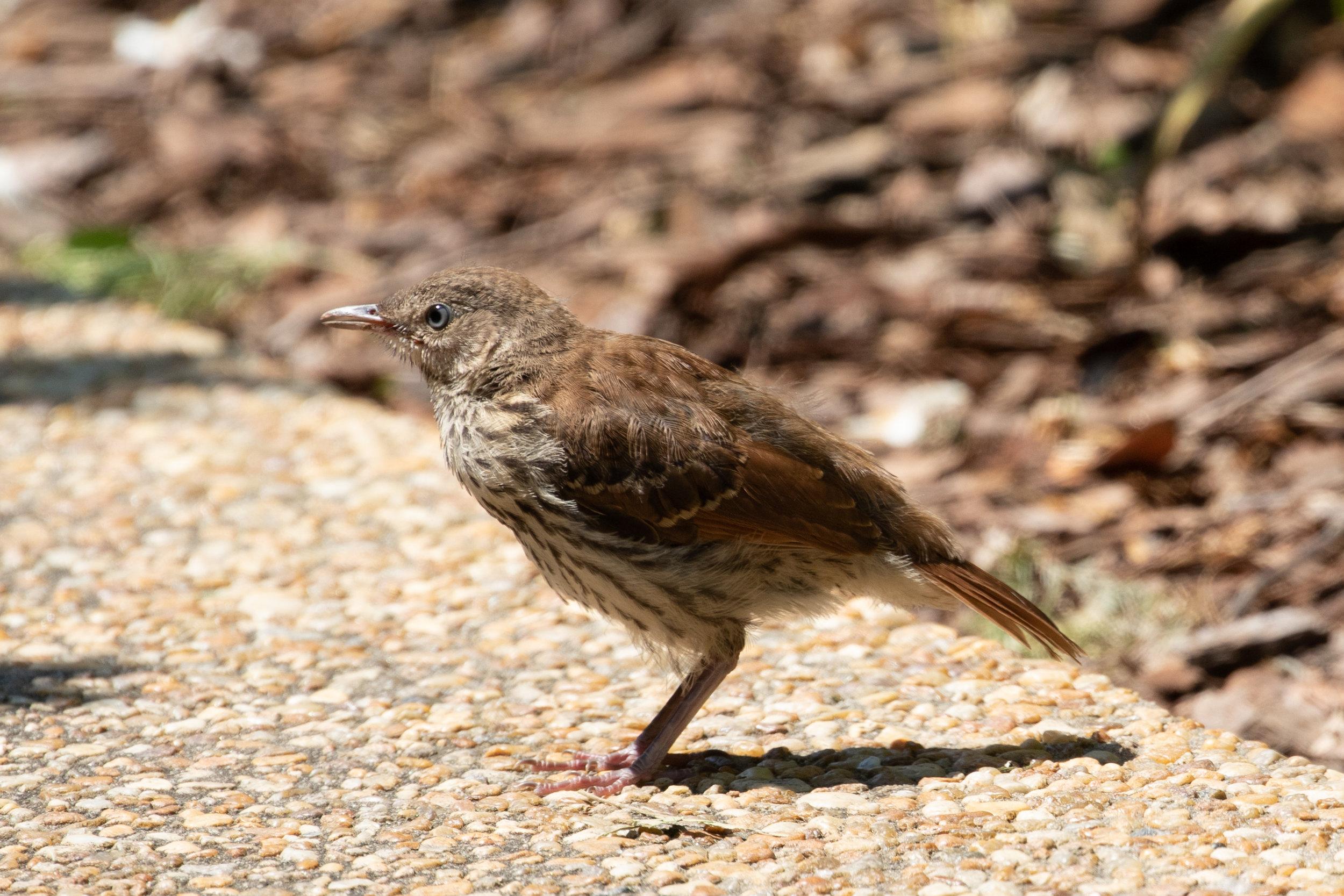 Brown Thrasher, juvenile