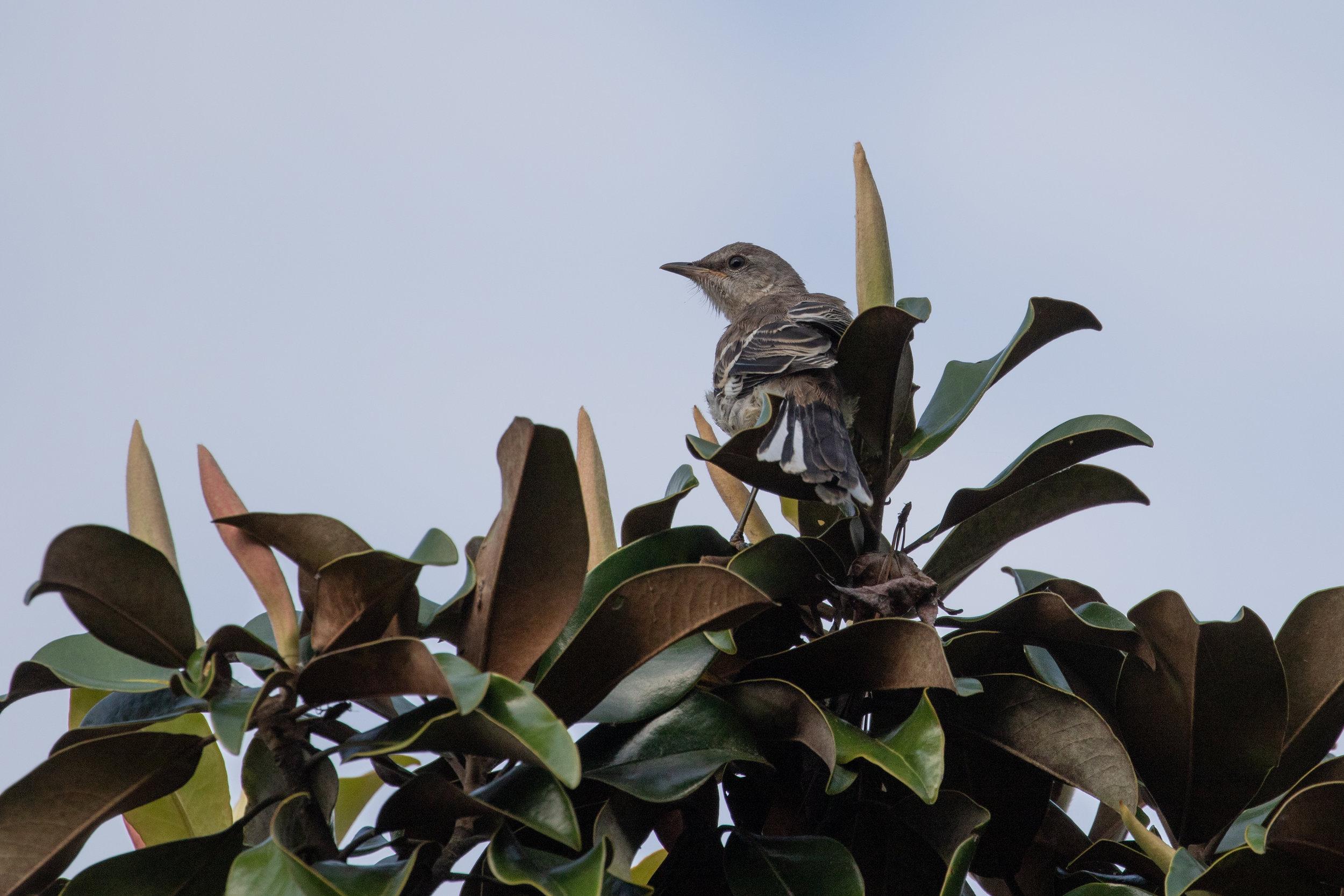 Northern Mockingbird, juvenile