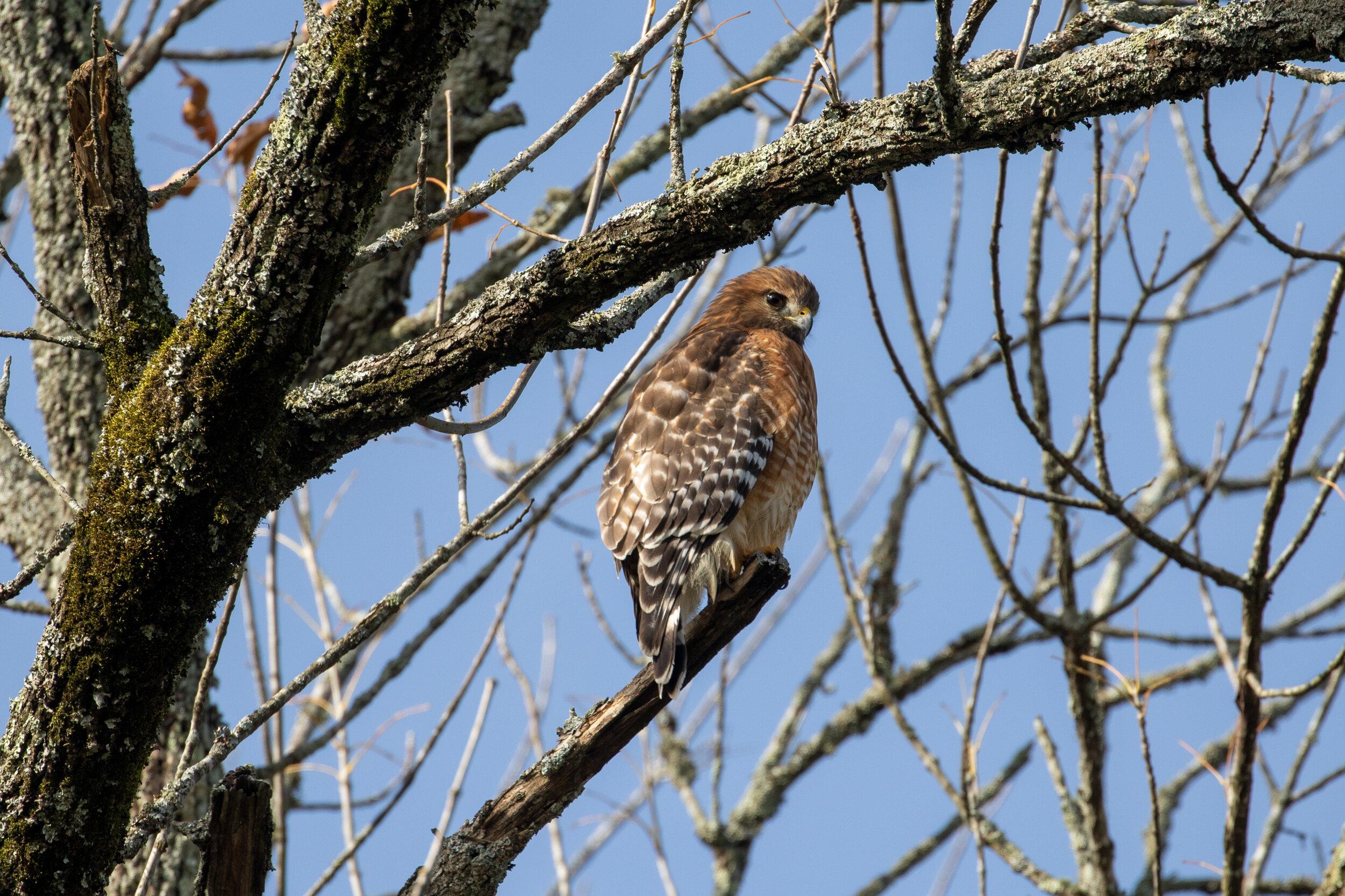 Red-shouldered Hawk, November 11, 2019