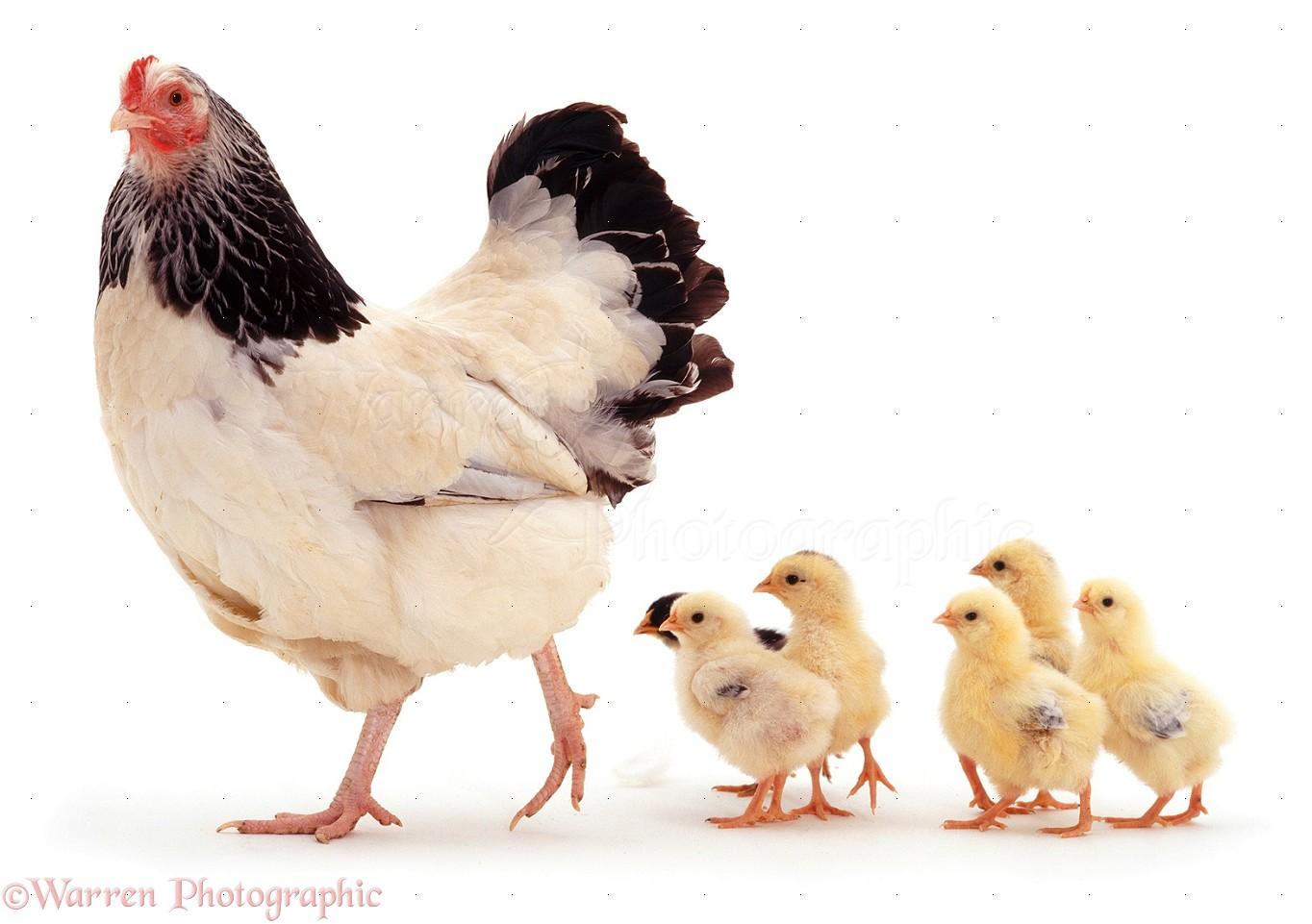 Source: https://www.warrenphotographic.co.uk/06716-light-sussex-bantam-hen-and-chicks
