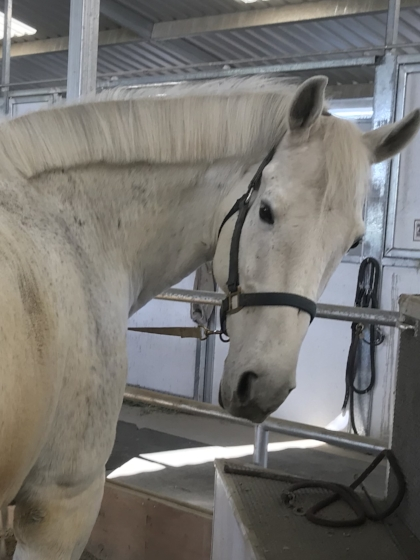 UNO  IS HERE just arrived February 27 , 2018. He is 16 year old Dutch Warm Blood gelding! An absolutely gorgeous grey hunter who needs to do flat work- a perfect addition to our program- An imported dream horse who the owner felt would thrive in our program. Available for lessons and sponsorship now. We are working on getting back in shape but he is going nicely under saddle
