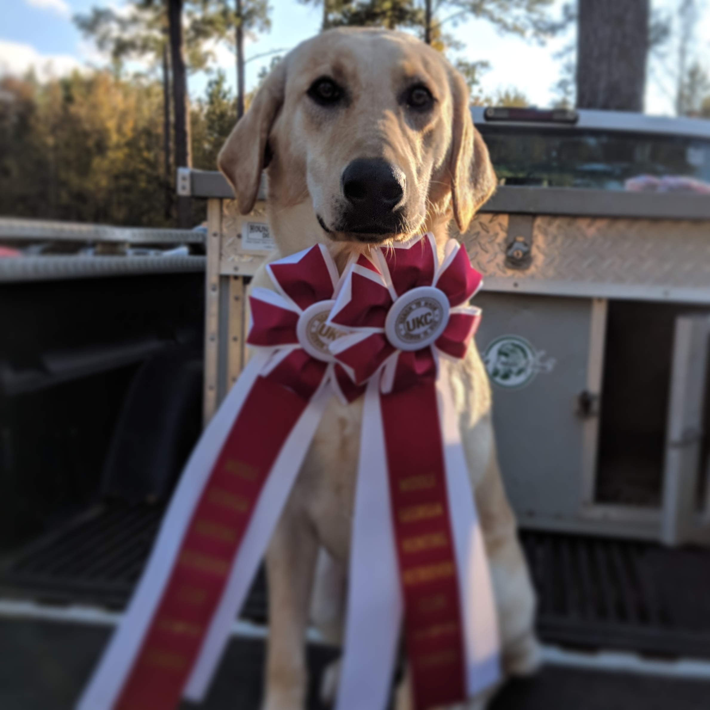Big Indian's Maggie May - Excited to work with Maggie in our gundog training program. She earned her 2 ribbons in the HRC Started test in Dublin on Nov. 17,18, 2018. This was Maggie's first test, and she knocked it out of the park. Happy for her owner Brandon Doles and look forward to getting her title in the Spring.