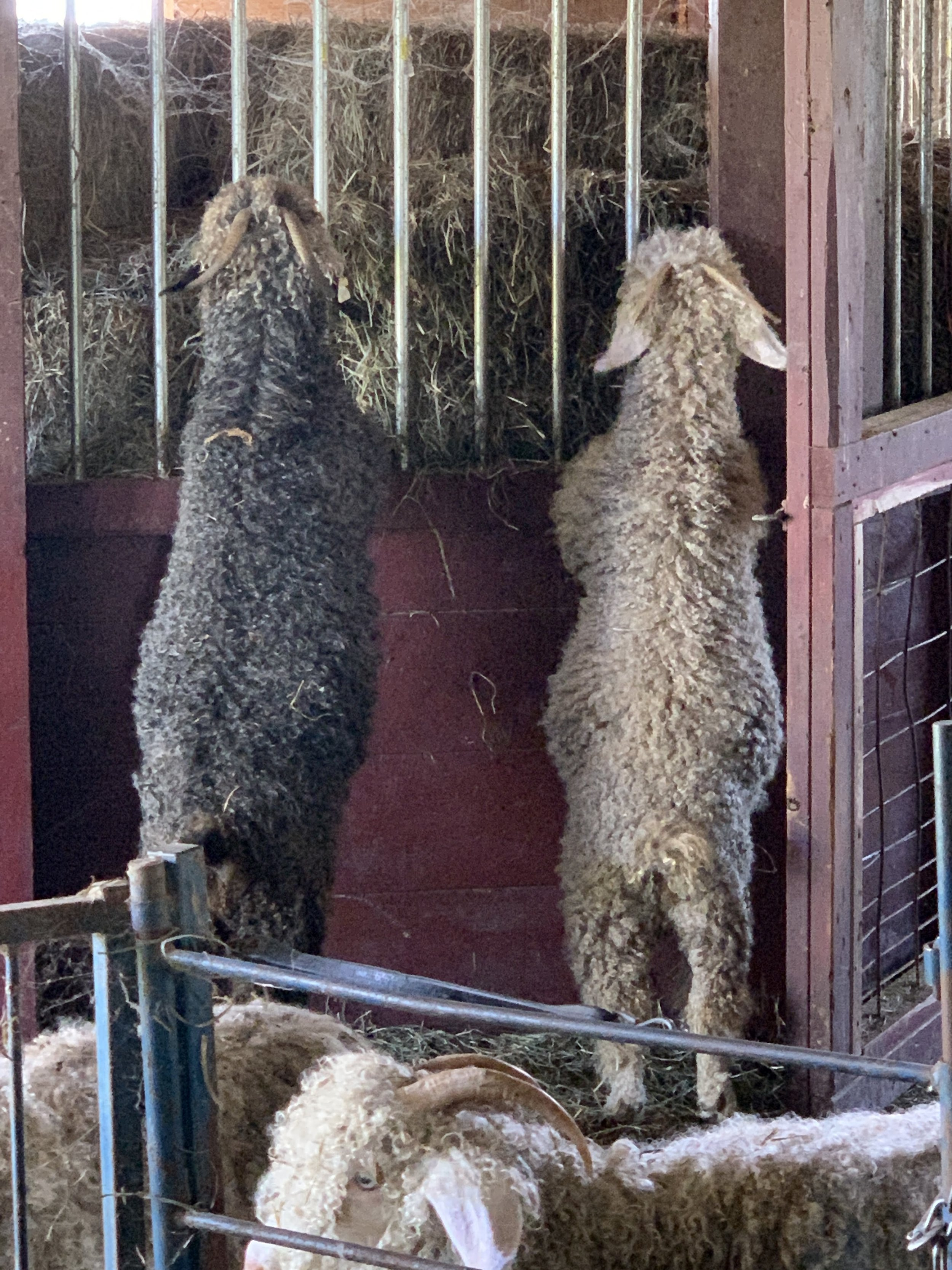 Shetland and Merino Cross Lamb