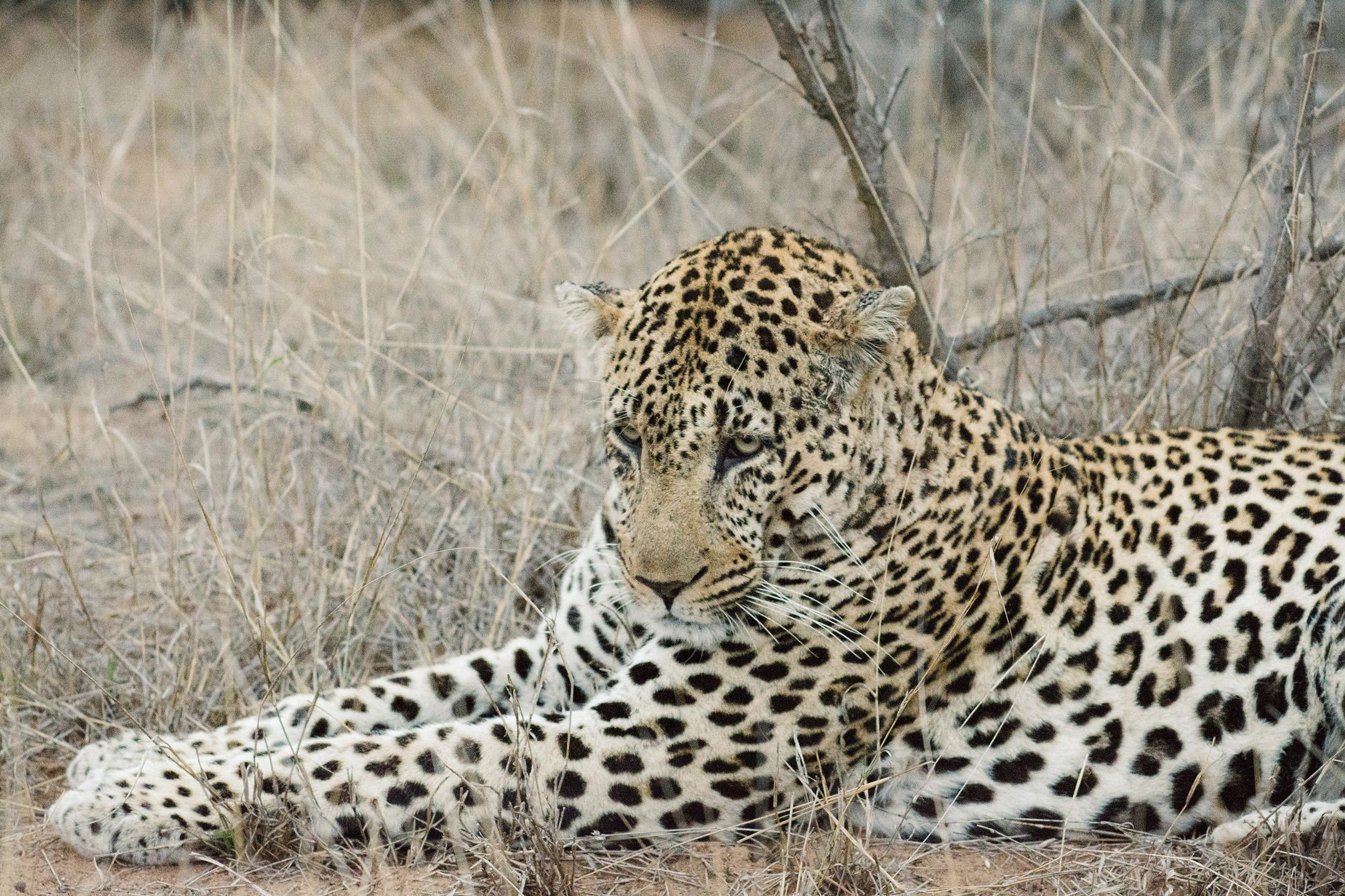 Leopard Evening