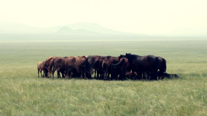 A Steppe horse huddle