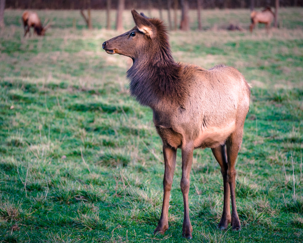 Boxley Valley Elk
