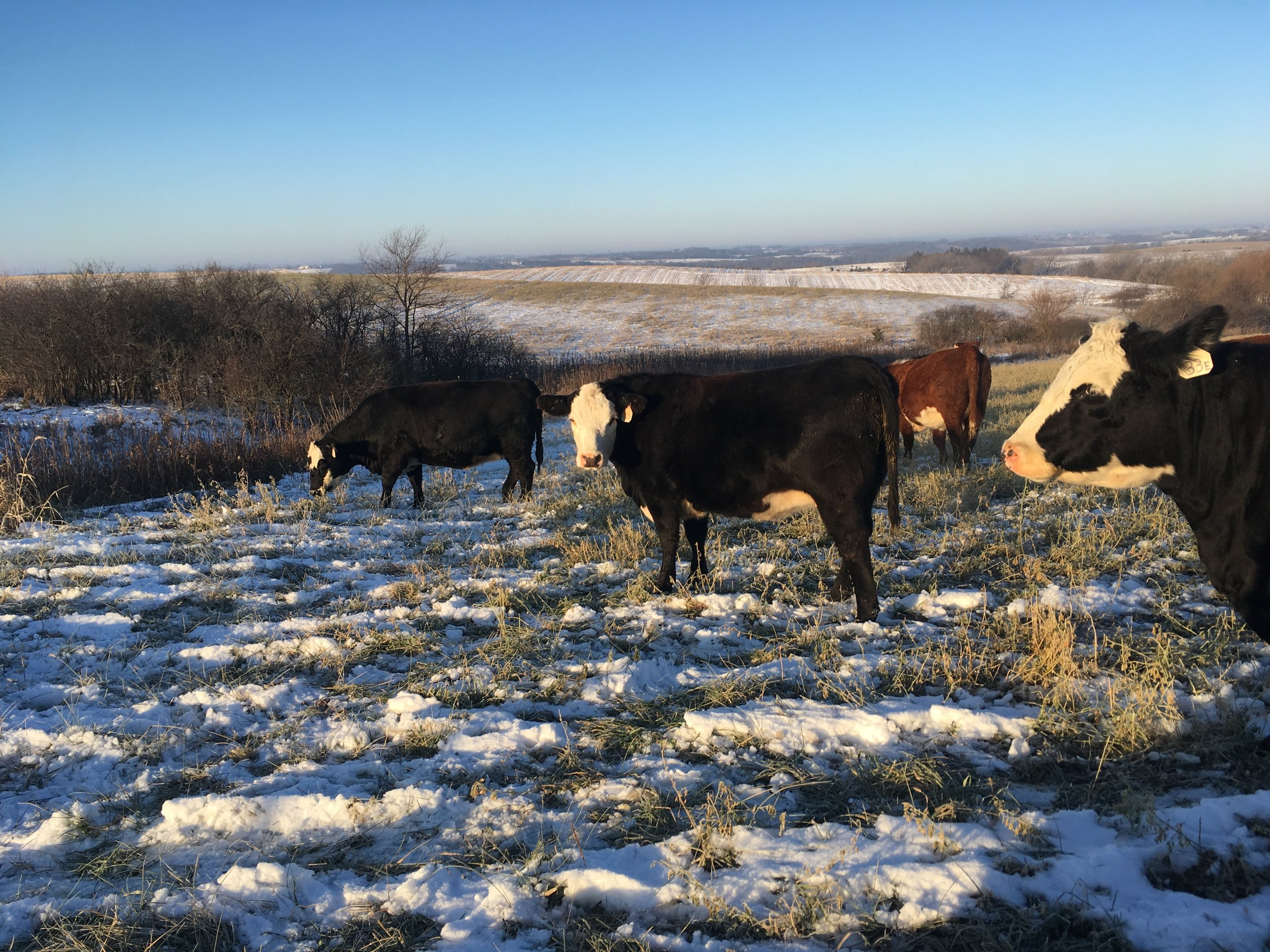 Bred heifers for hereford hq