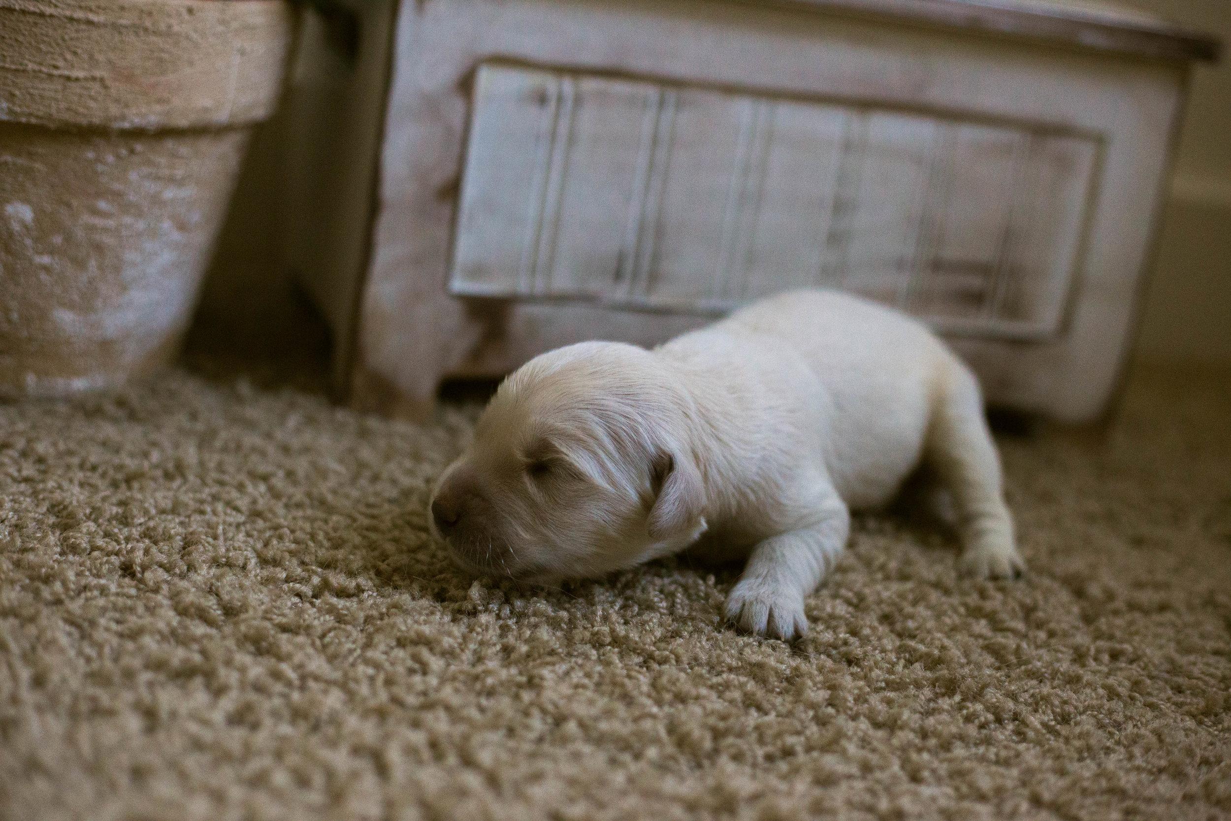 Puppies_1week-11.jpg