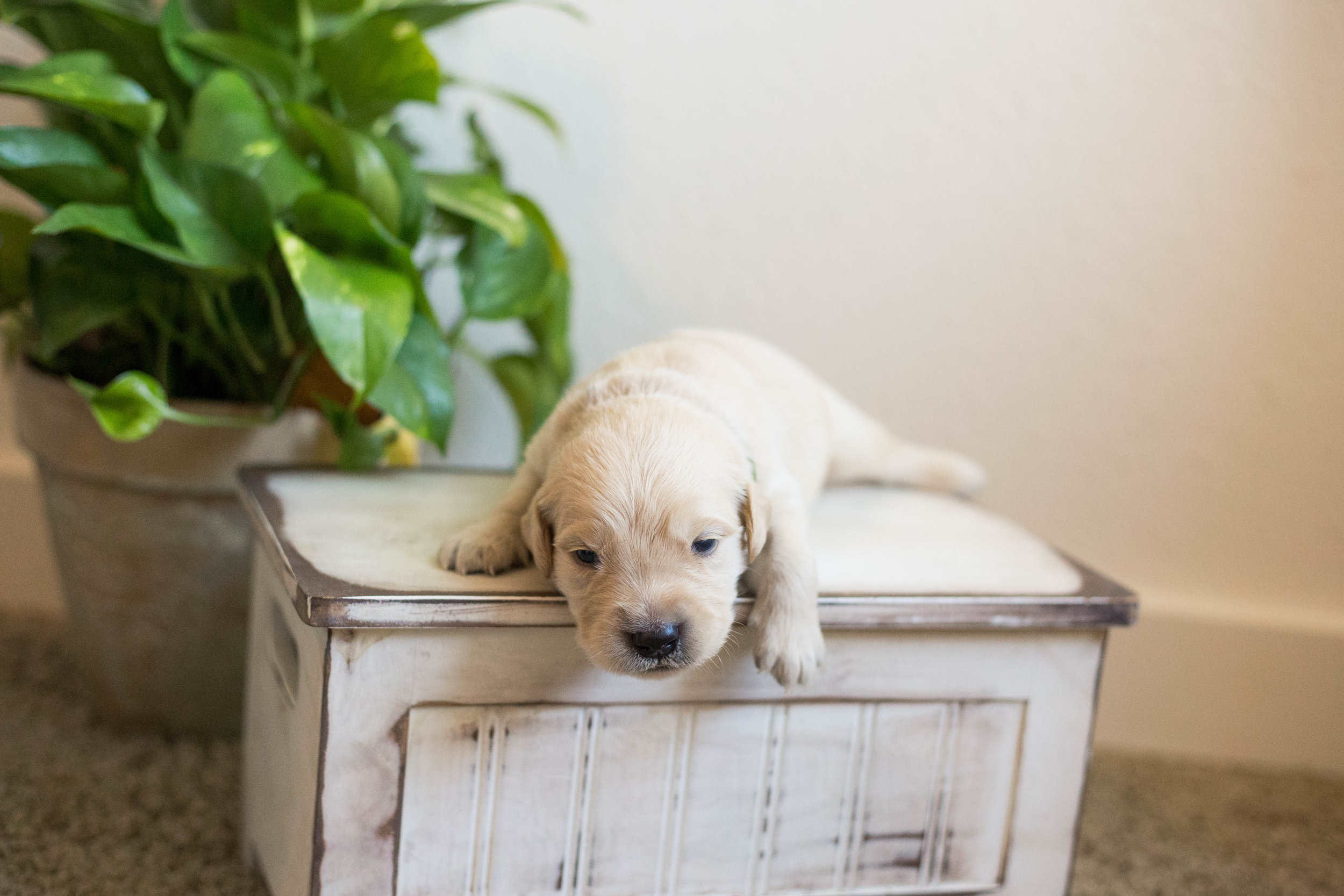 Puppies_2week-10.jpg