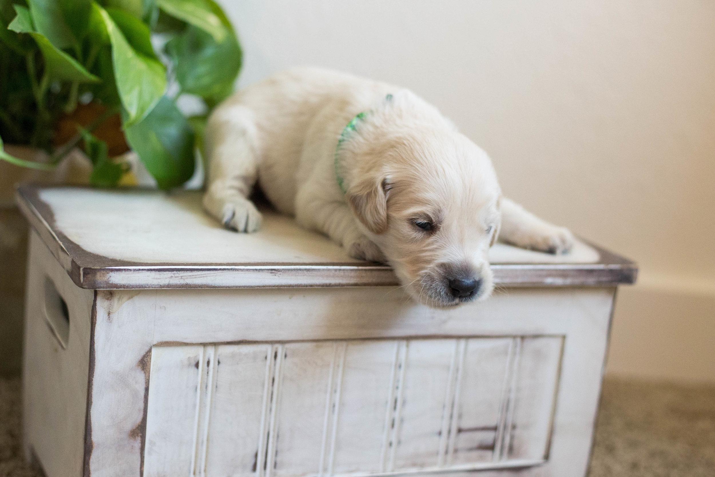 Puppies_2week-11.jpg