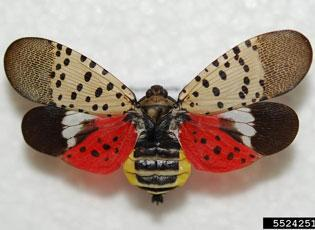 Spotted lanternfly, adult - Photo by Lawrence Barringer, Pennsylvania Department of Agriculture.