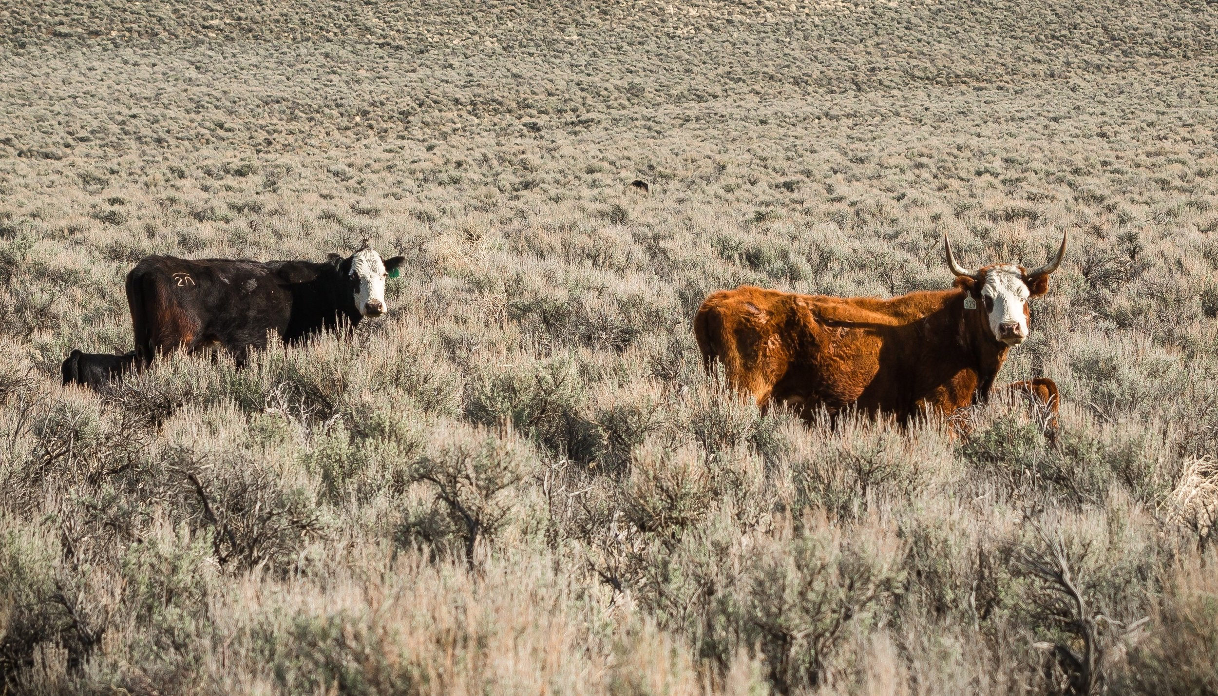 Cattle grazing on public lands near Steens Mountain, Oregon.  BLM/Greg Shine ,  CC BY