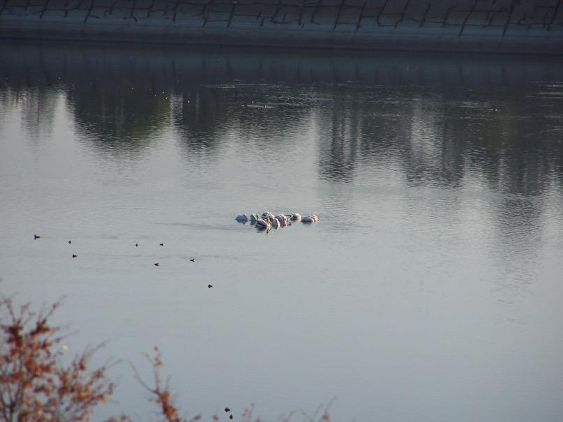 pelicans.jpeg