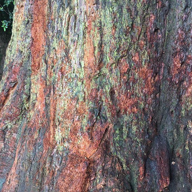 #Redwood ❤️🌿