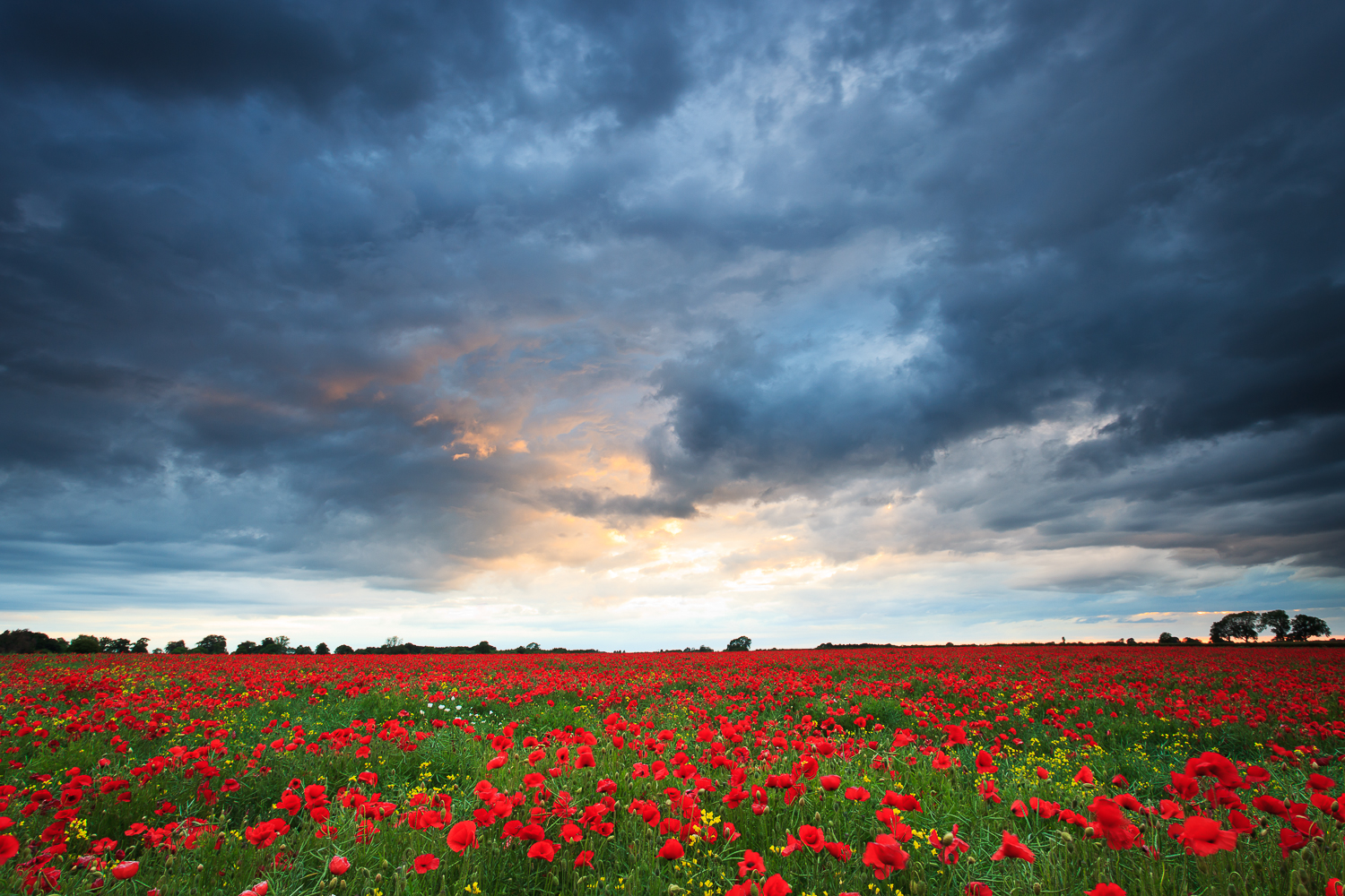 20110609_poppies_0048-Edit.jpg